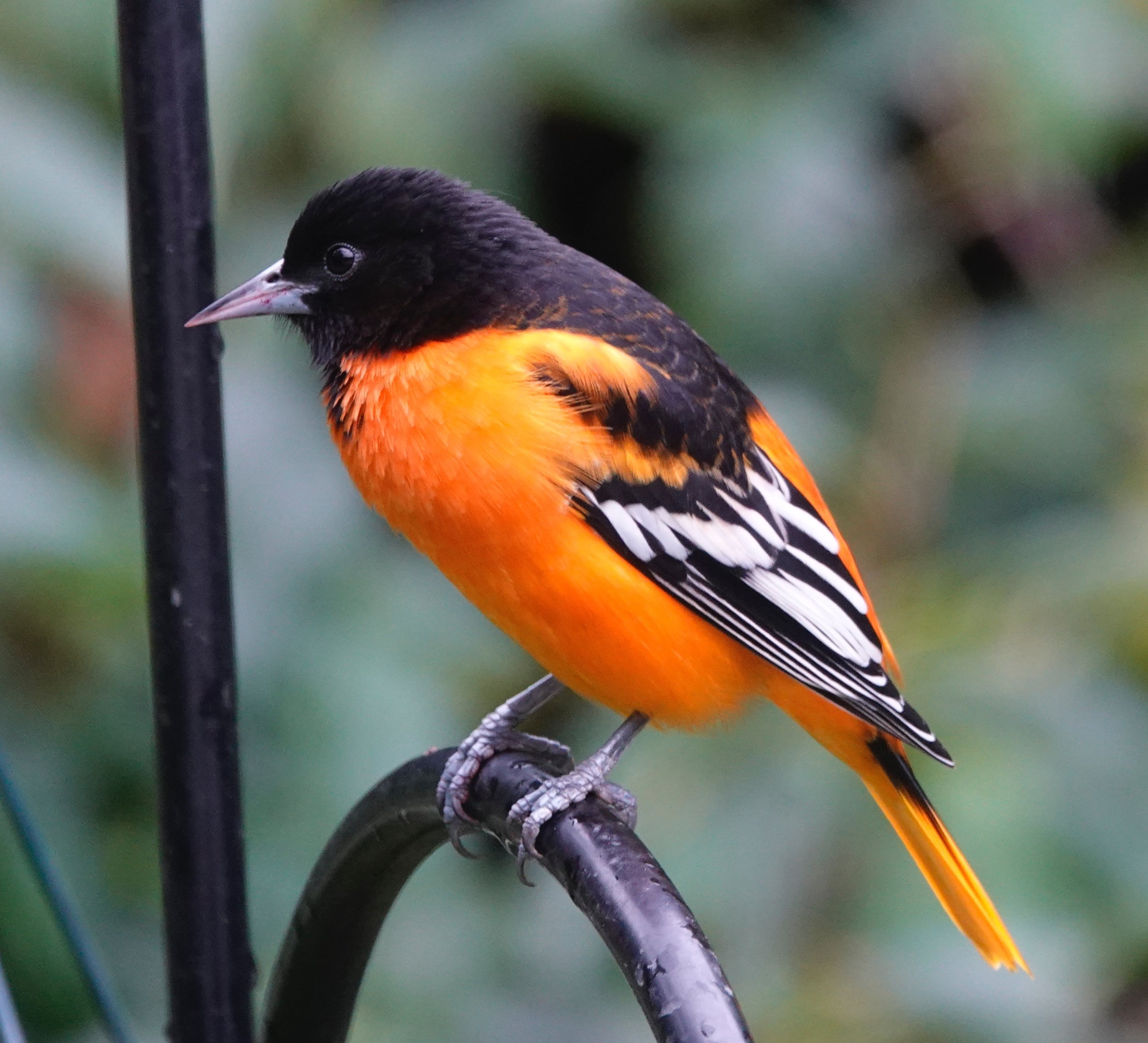 The Baltimore oriole was named because of its similarity to the colors on the heraldic crest of Lord Baltimore.