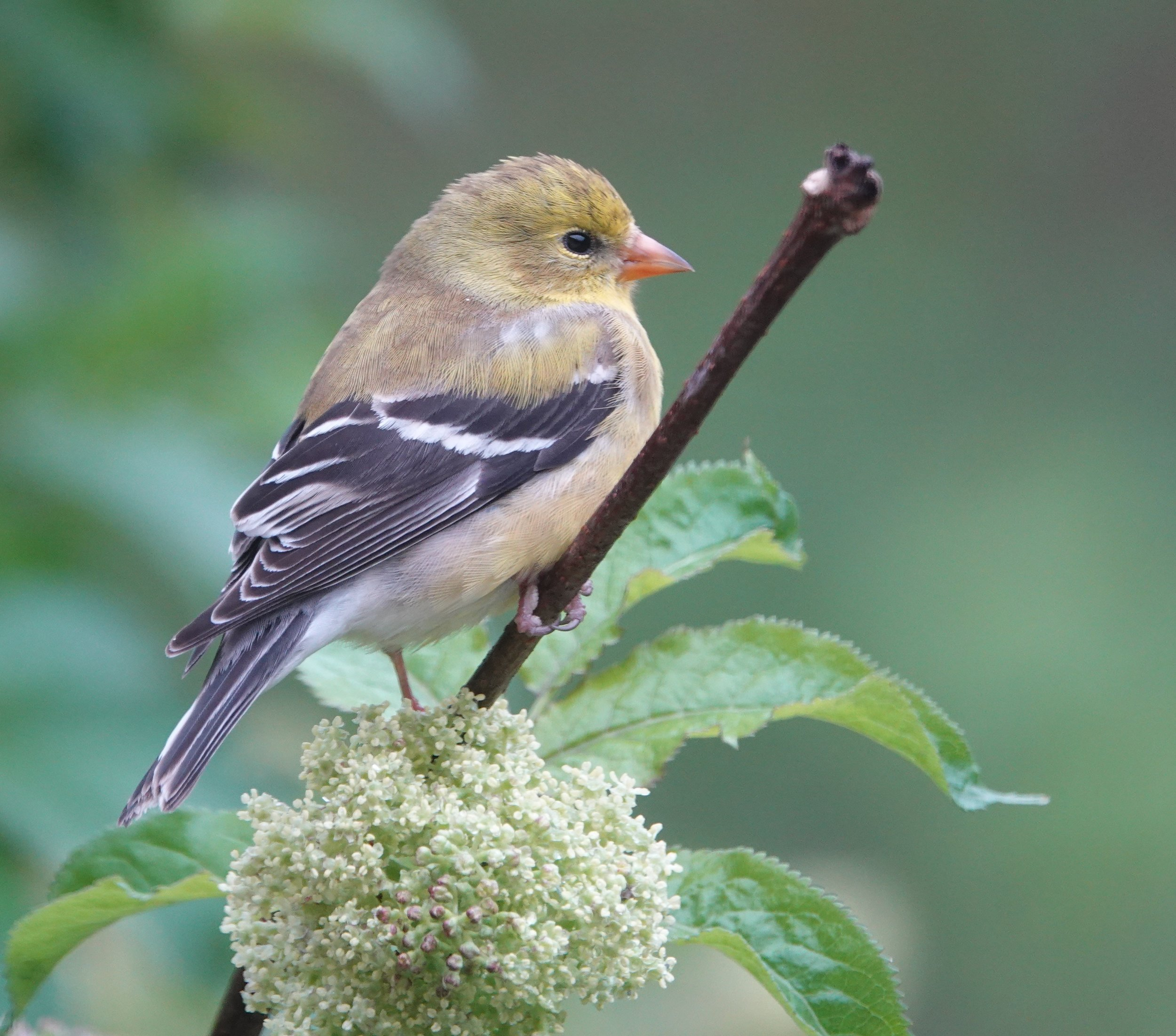 This female American goldfinch eats seeds almost exclusively.