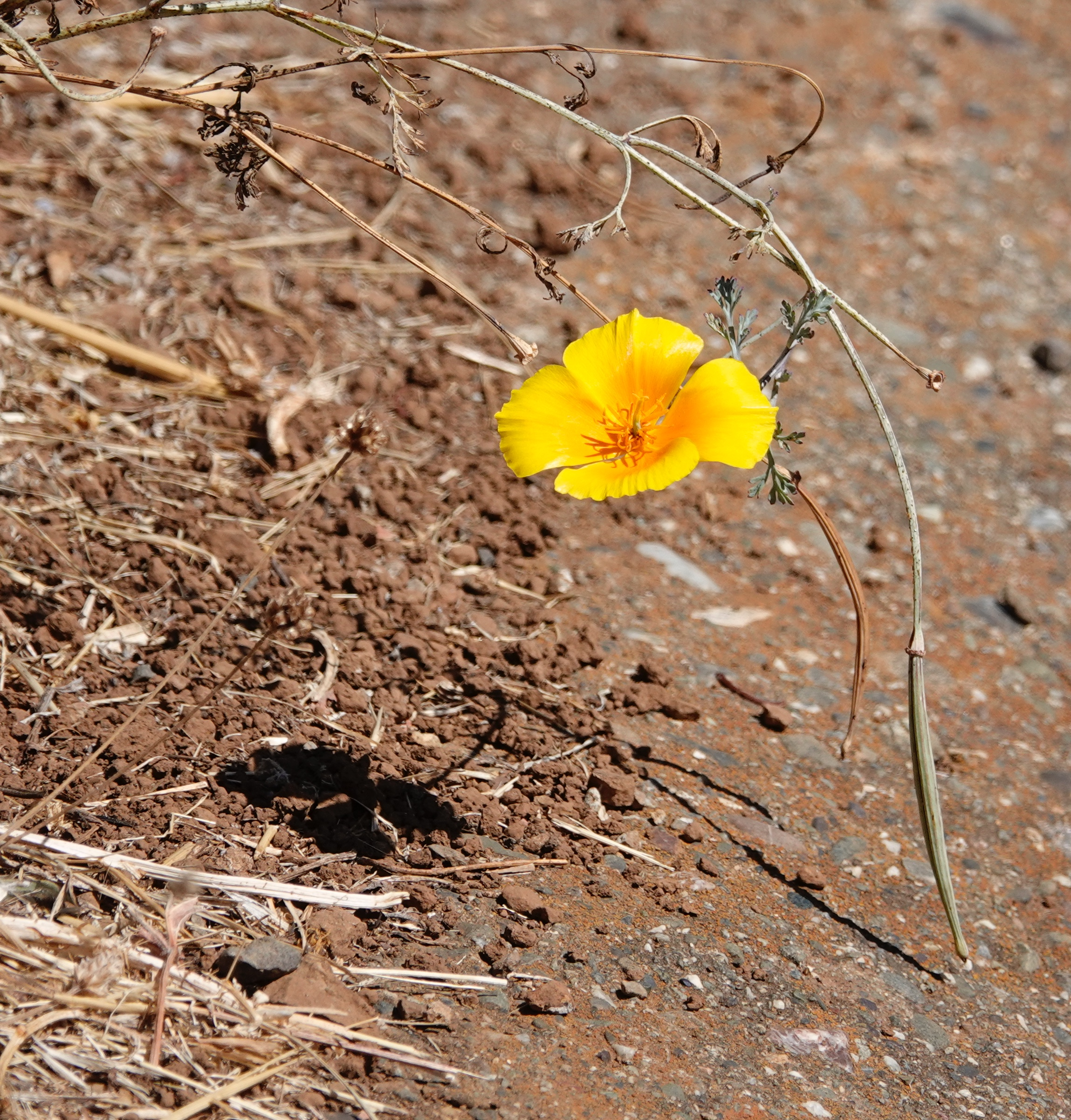 This tiny California poppy, like a kind word, casts a long shadow.