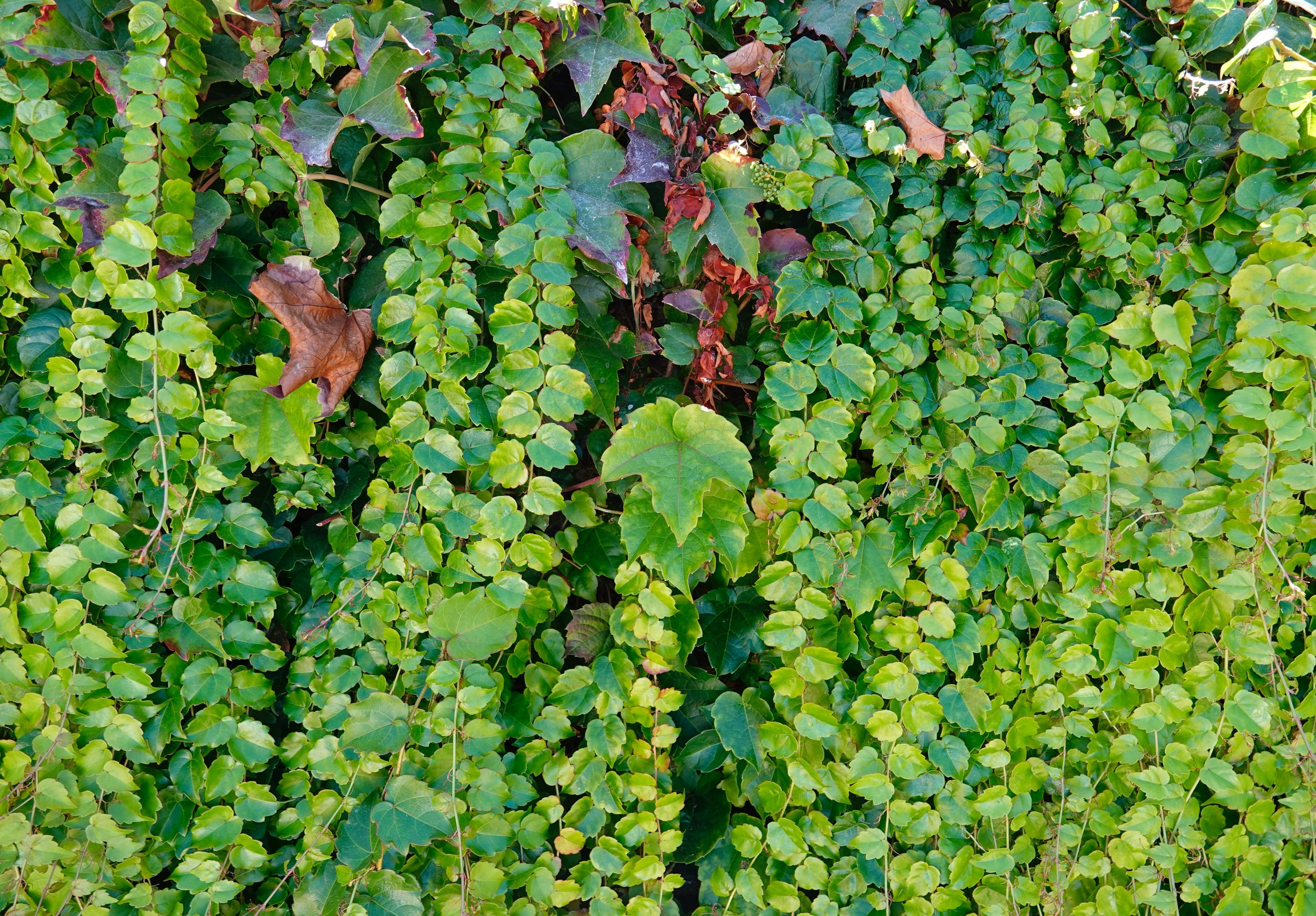 Not long ago, I was getting an IV. What was I thinking about during that time? I was daydreaming of walking past a wall of ivy.