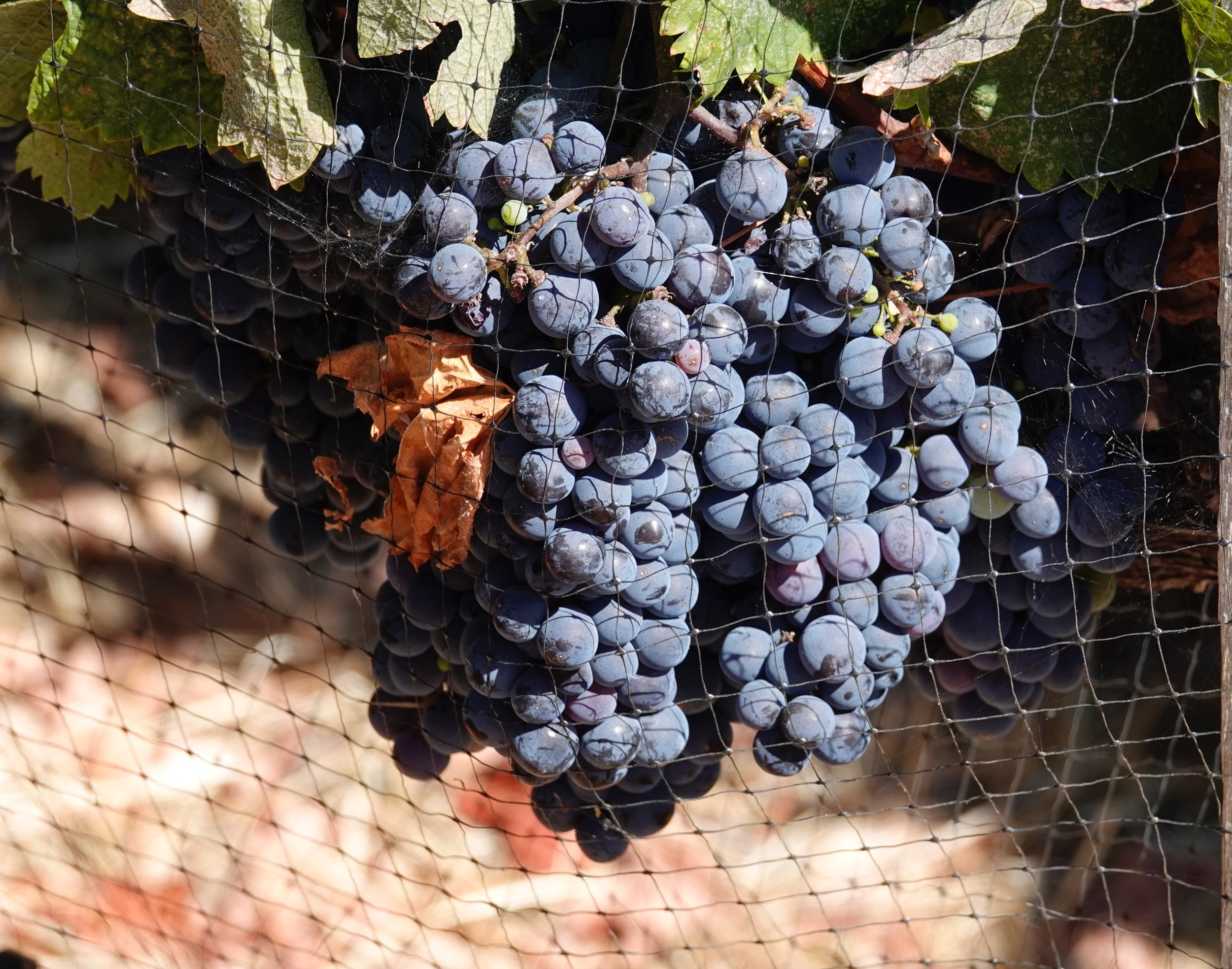 These grapes will soon have a lot to wine about.  Napa Valley Merlot.