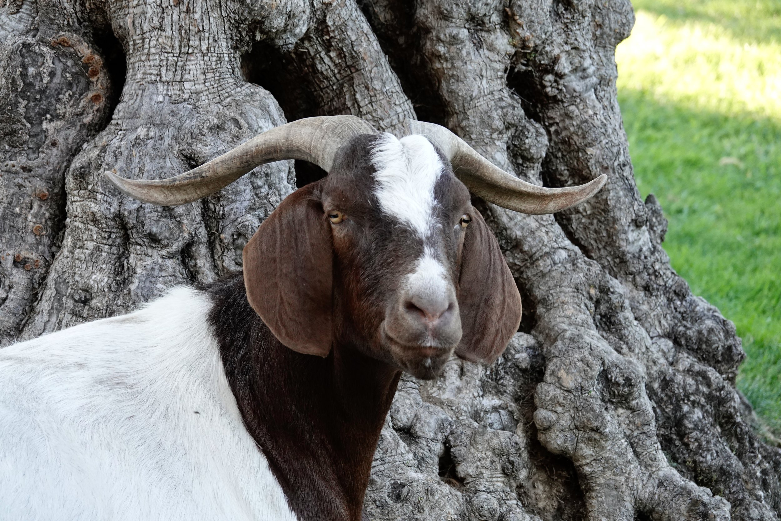 This is not a scapegoat. This is the kind of goat that blames the photographer.