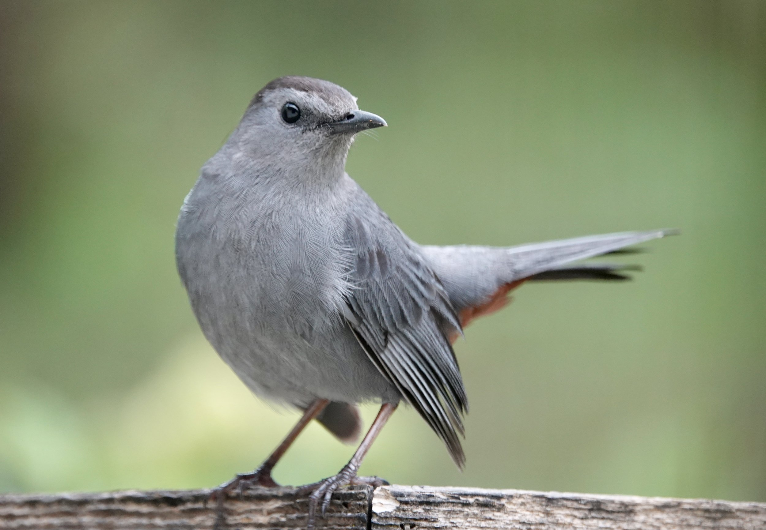 The gray catbird is a fine looking bird that guards my raspberry patch each year and tries to keep me away from it.
