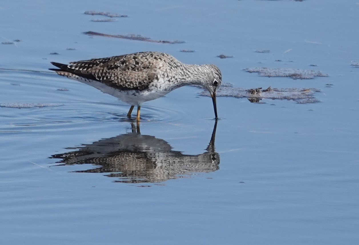 This lesser yellowlegs seemed narcissistic.