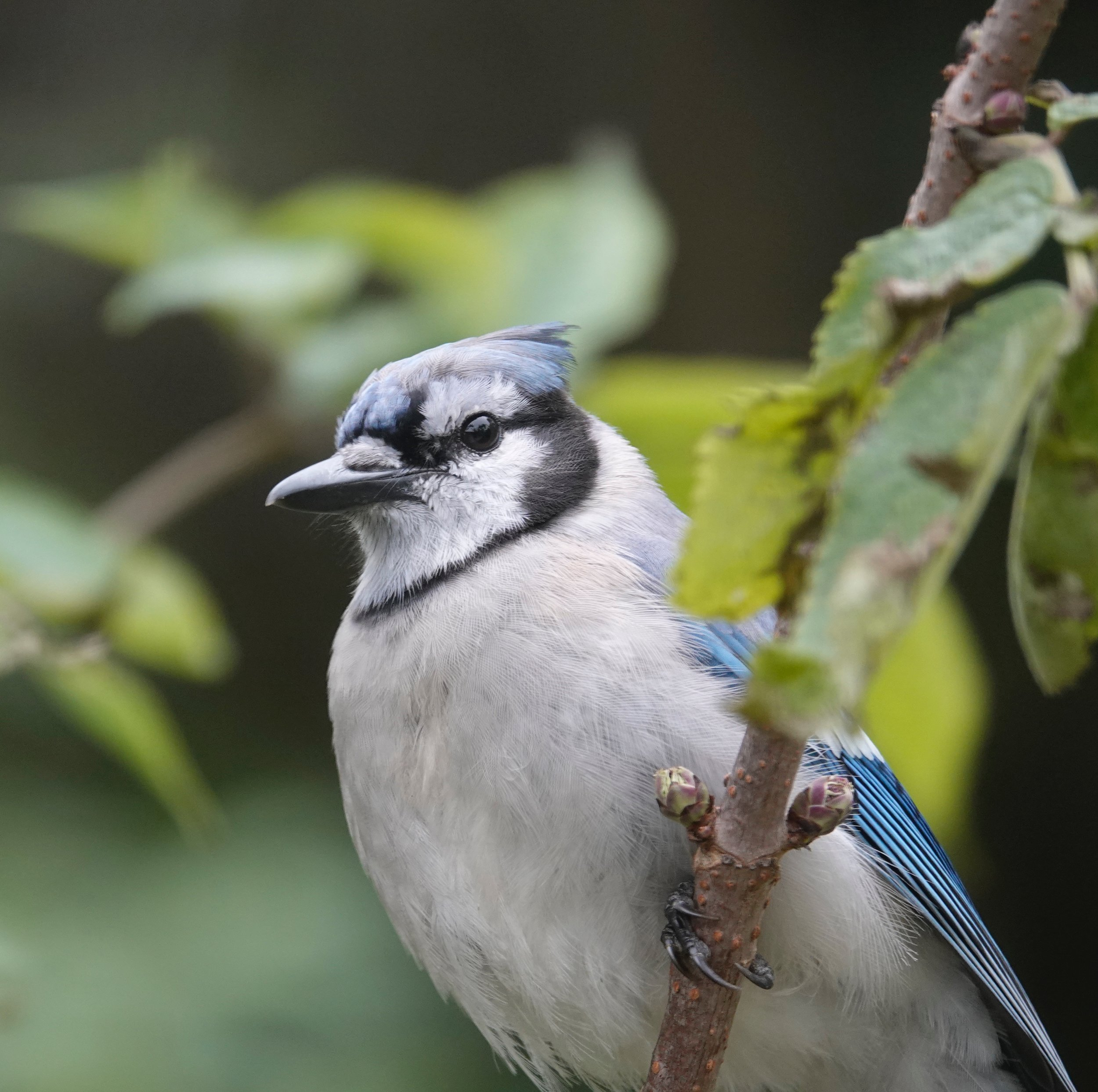 "Mark Twain wrote ""you never see a blue jay get stuck for a word."""