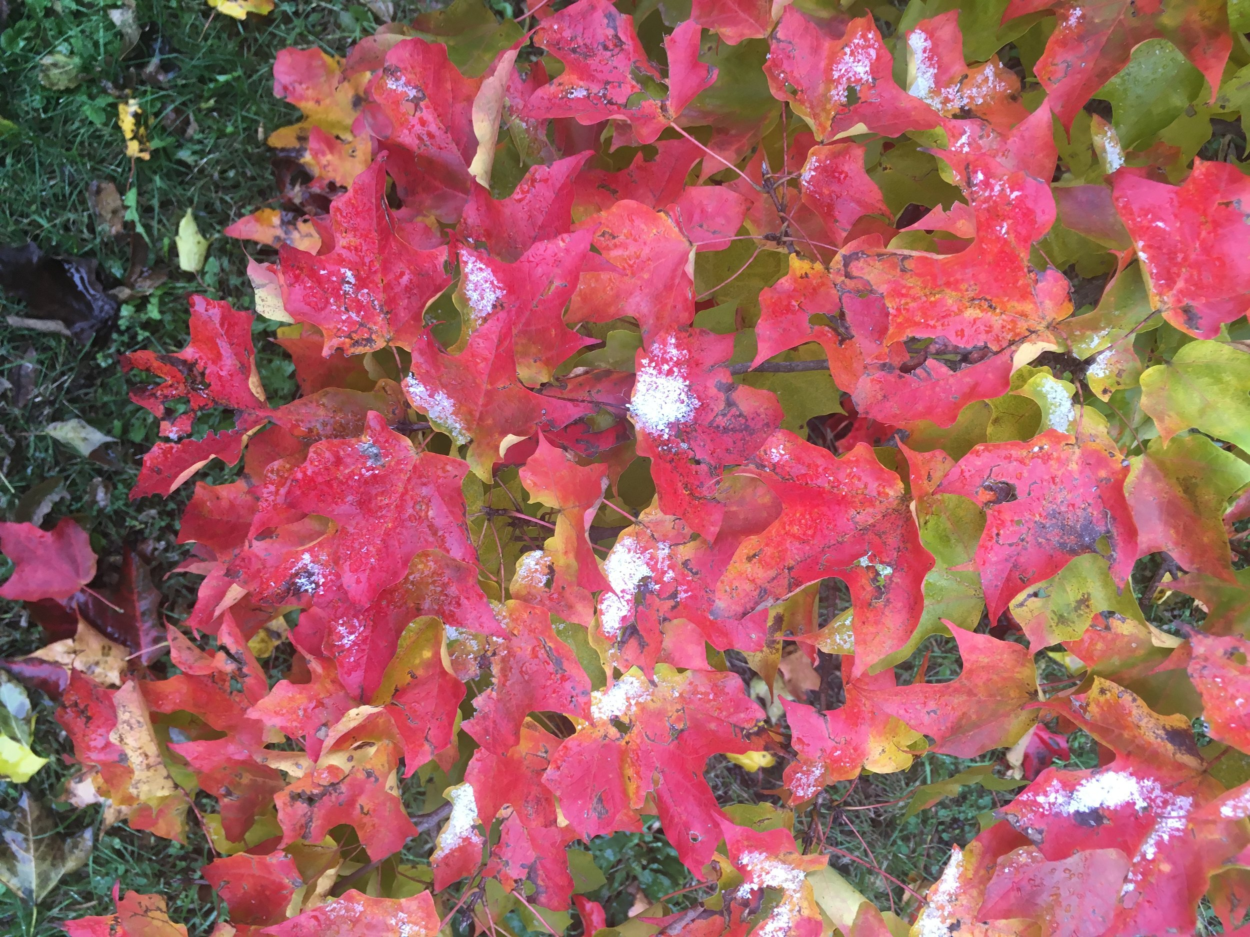 Fall maintains its beauty despite winter's early intrusion.