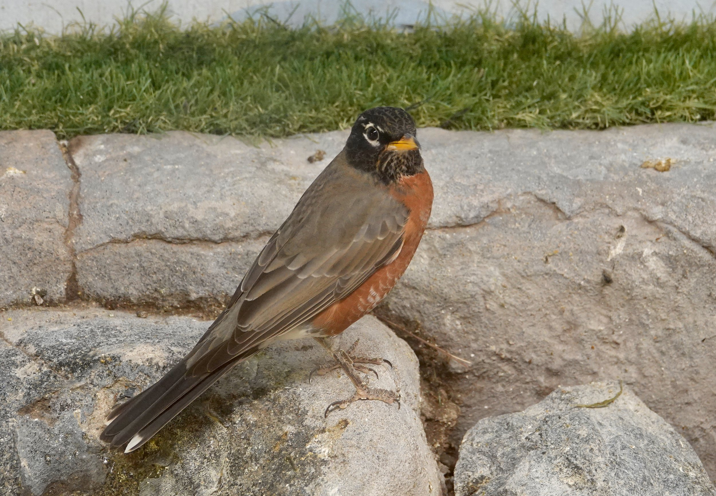 This is an exceptional version of a Minnesota robin. Western populations of the American robin are often paler than eastern populations and have almost no white at the tail corners.