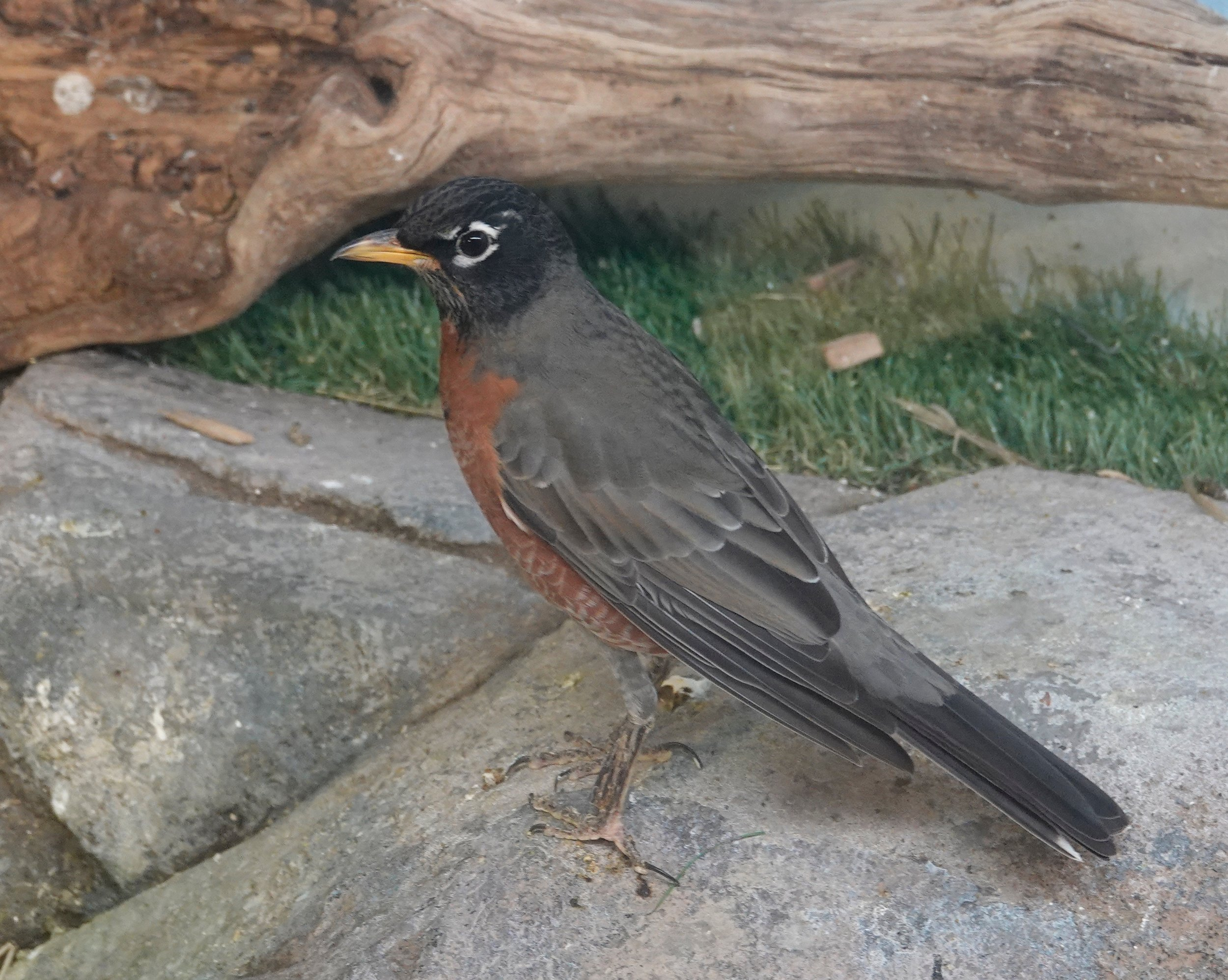 The drunken birds of Minnesota have been popular items in the media, yet no robin has ever lost its driver's license.