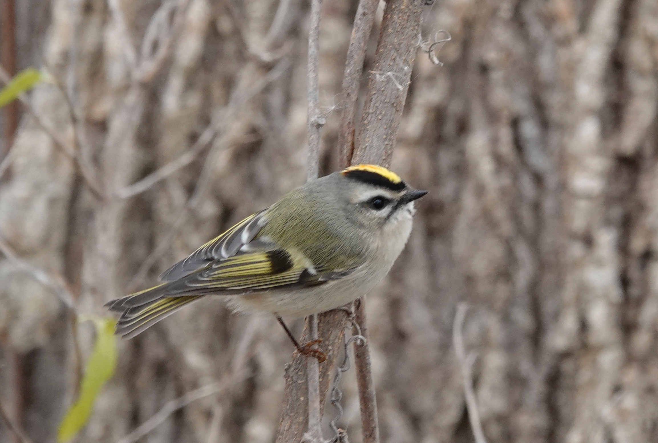 Golden-crowned kinglets are capable of wintering in areas where nighttime temperatures fall below –40° Fahrenheit.