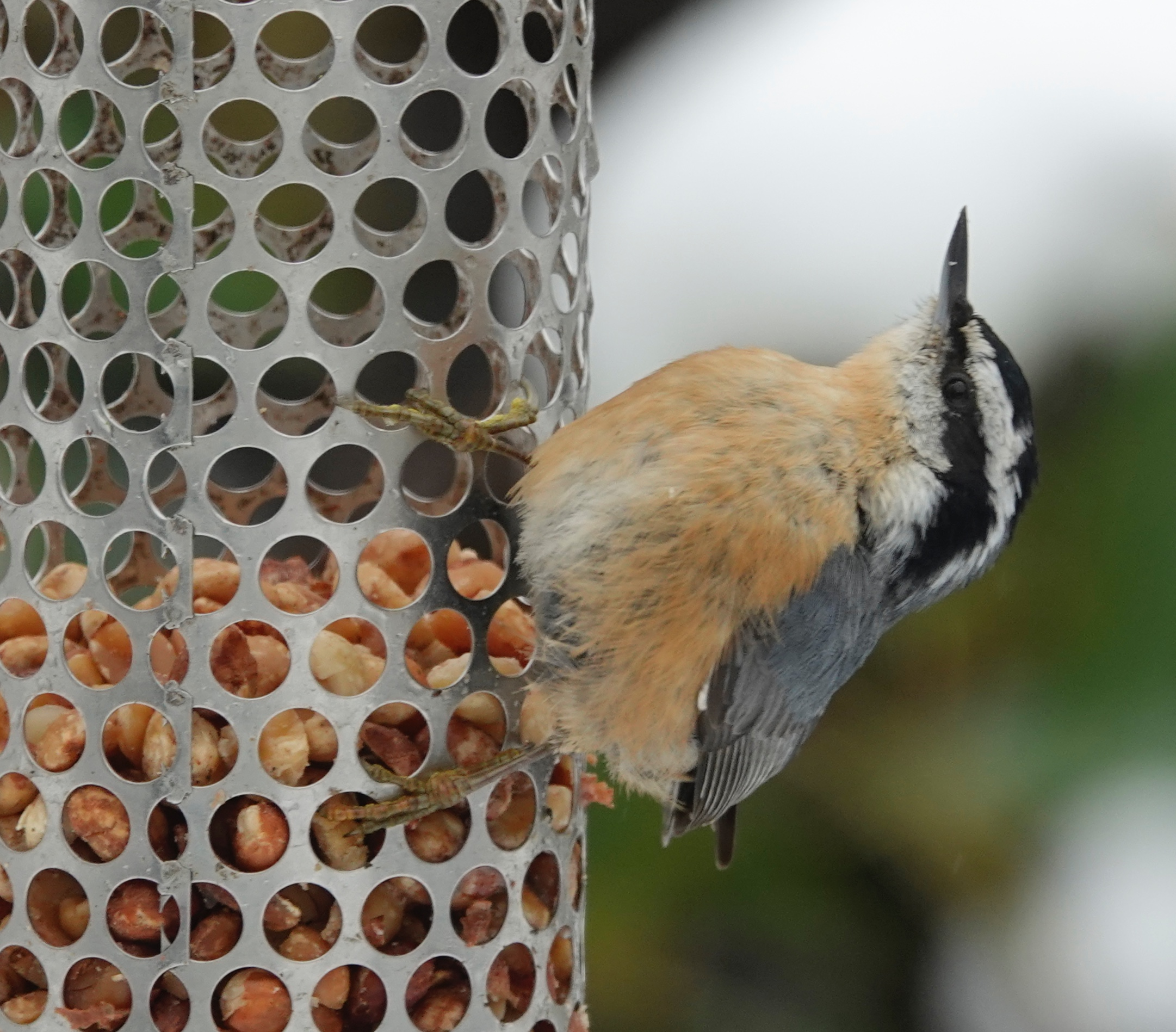 A red-breasted nuthatch is ridiculously adorable.