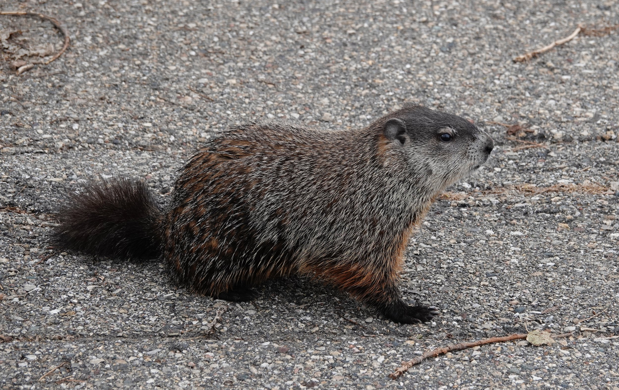 A groundhog, woodchuck, whistle-pig or land-beaver.