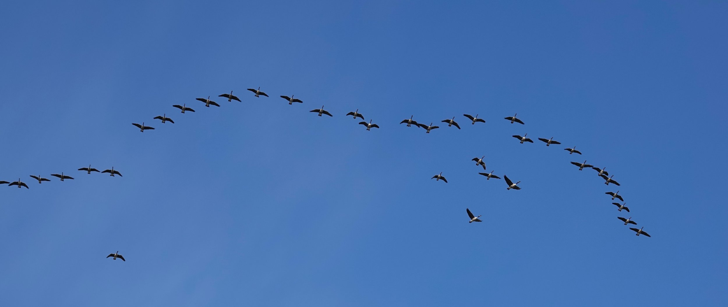 Canada geese sometimes experiment with letters other than V in their flight formations.