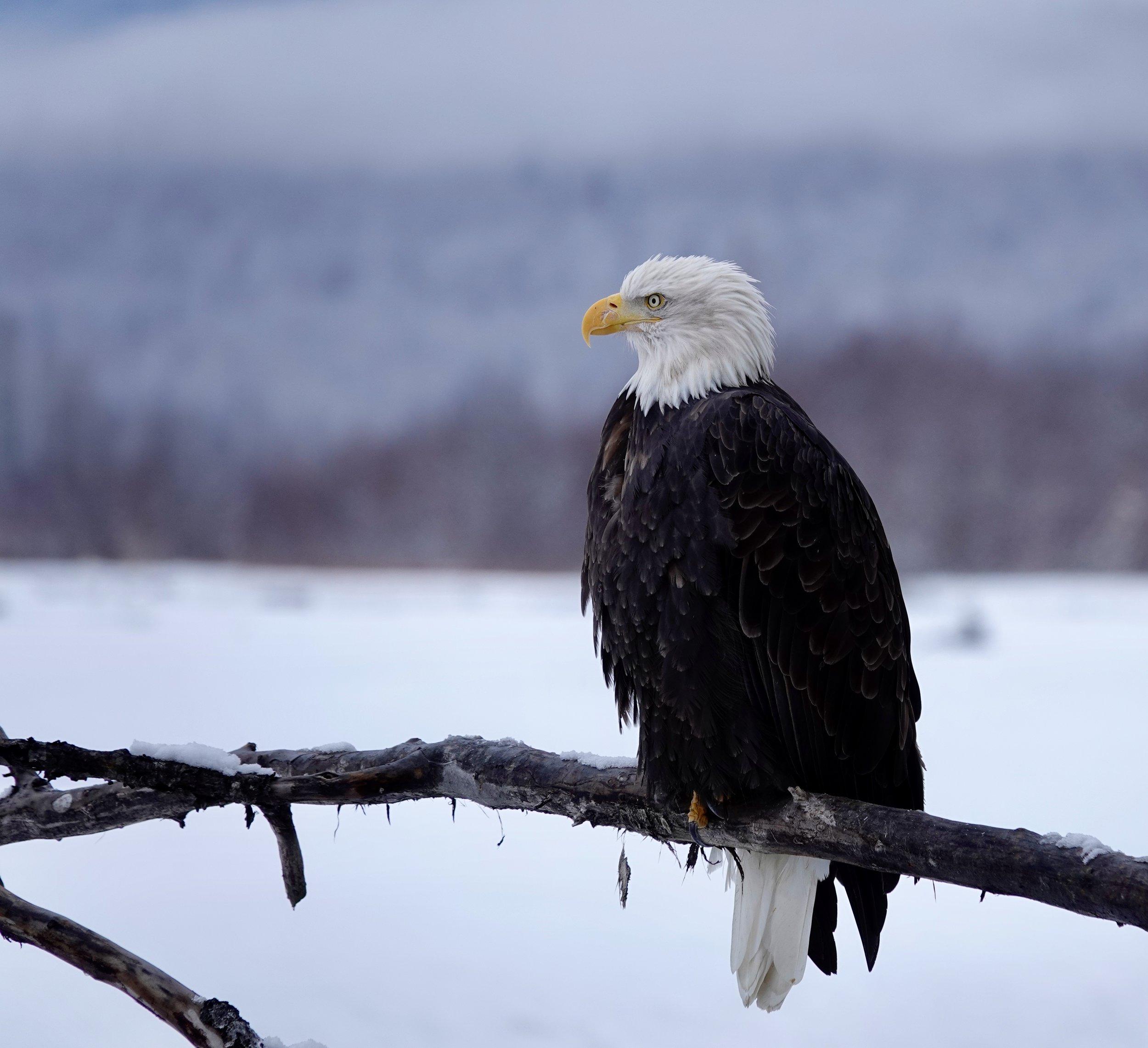 An eagle on a stick.