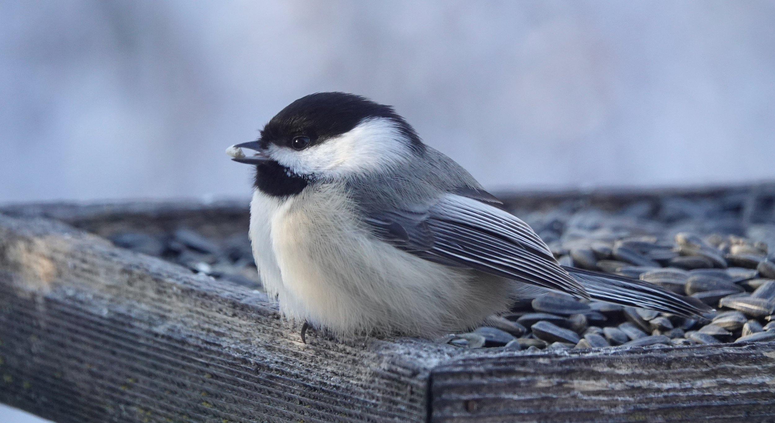 This chickadee is on a diet in which it eats only one thing. More.
