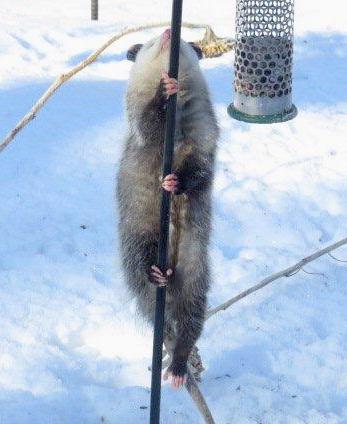 A pole-dancing opossum.