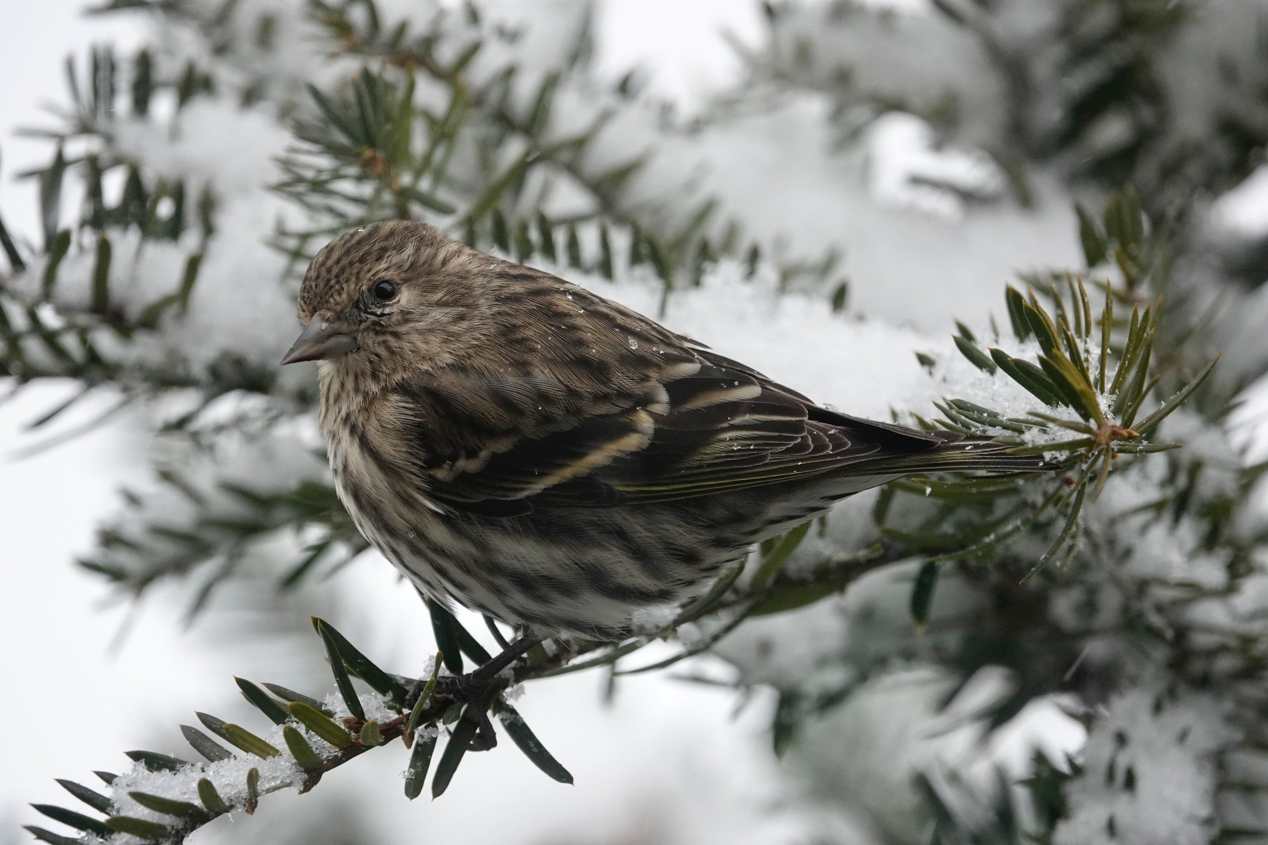 To some, a pine siskin sounds like a hoarse American goldfinch.