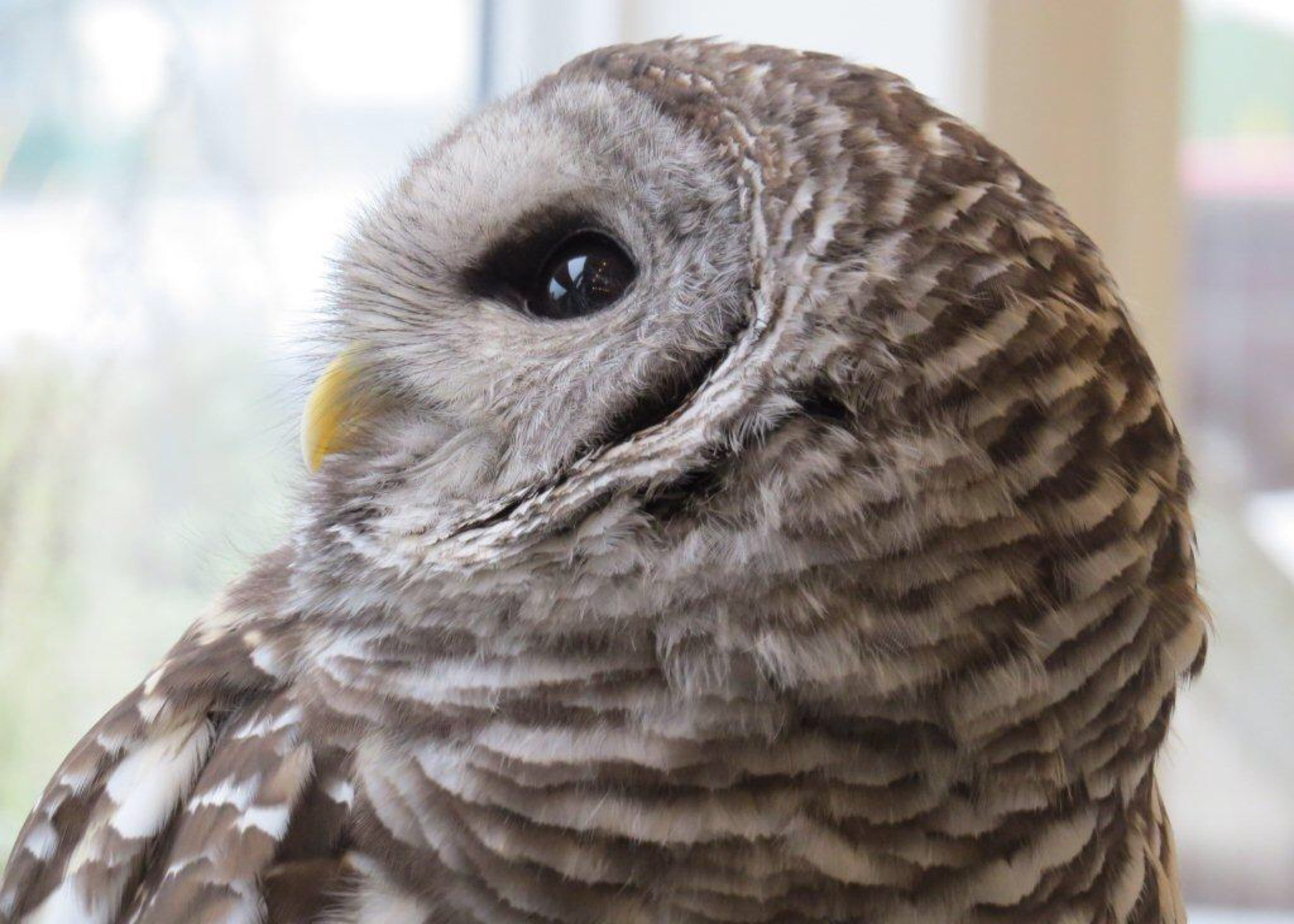This barred owl is seeing things I can only imagine.