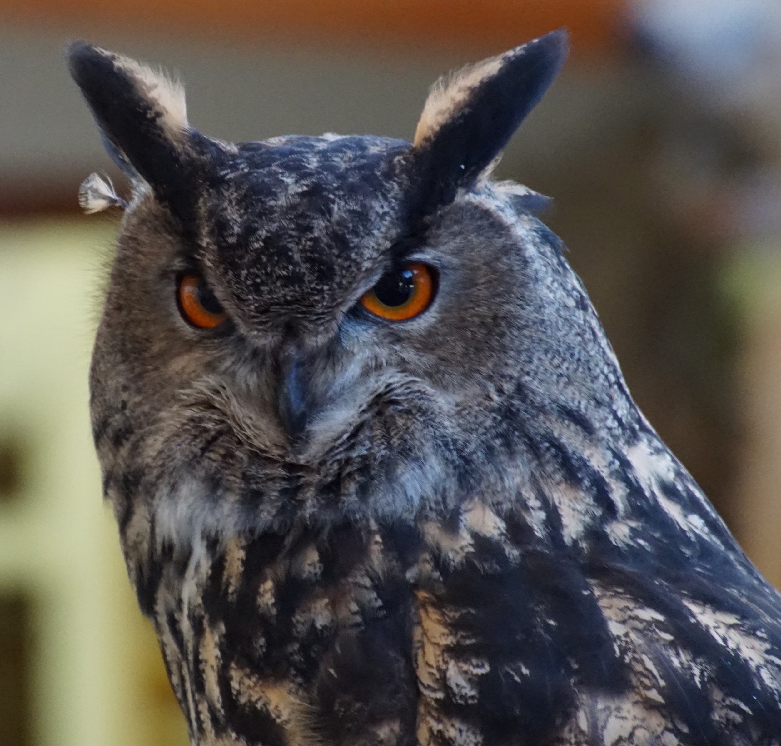 A feather out of place on this Eurasian eagle owl at the American Bald Eagle Foundation in Haines, Alaska.