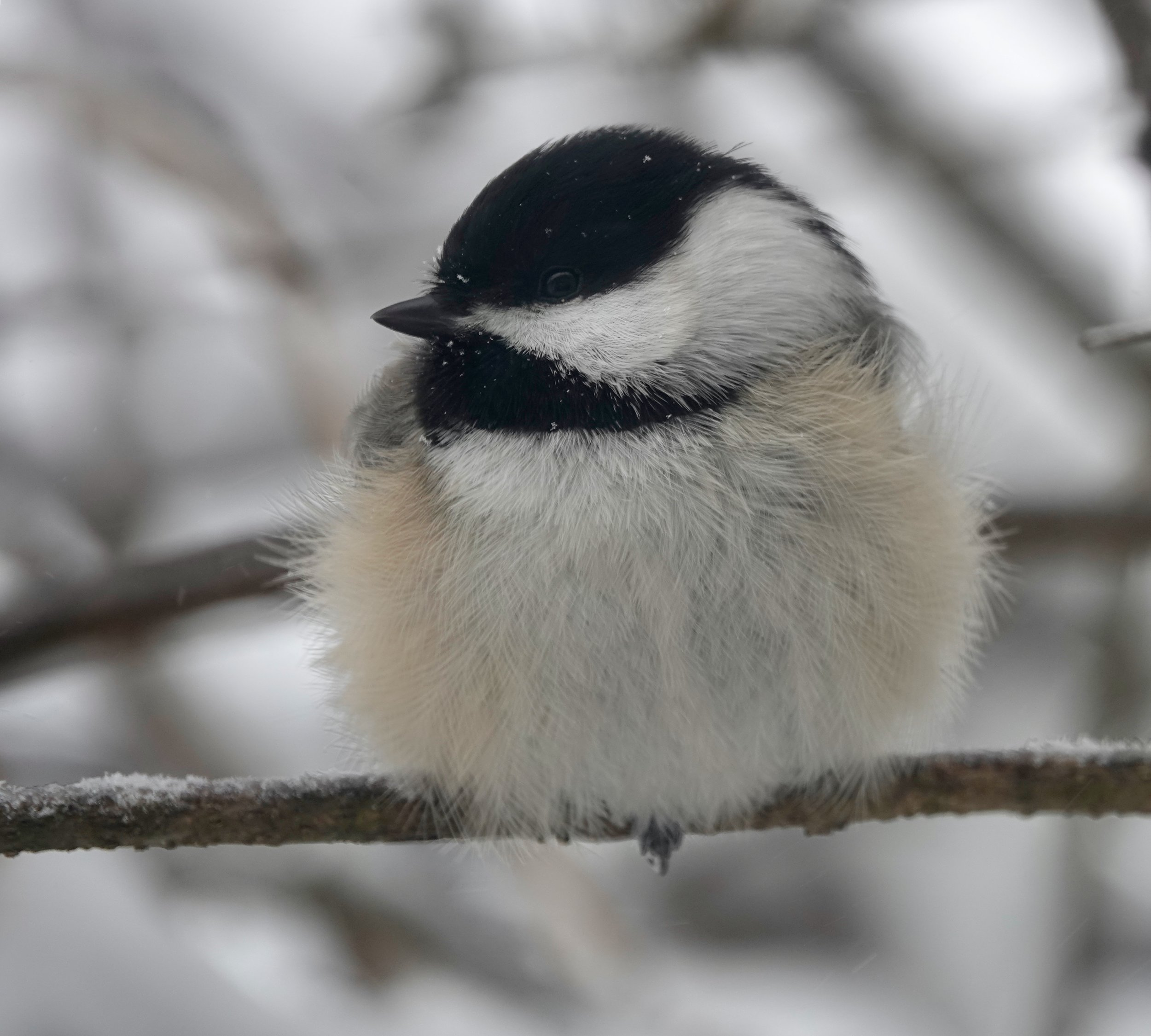 And in today's views: A bodacious black-capped chickadee.