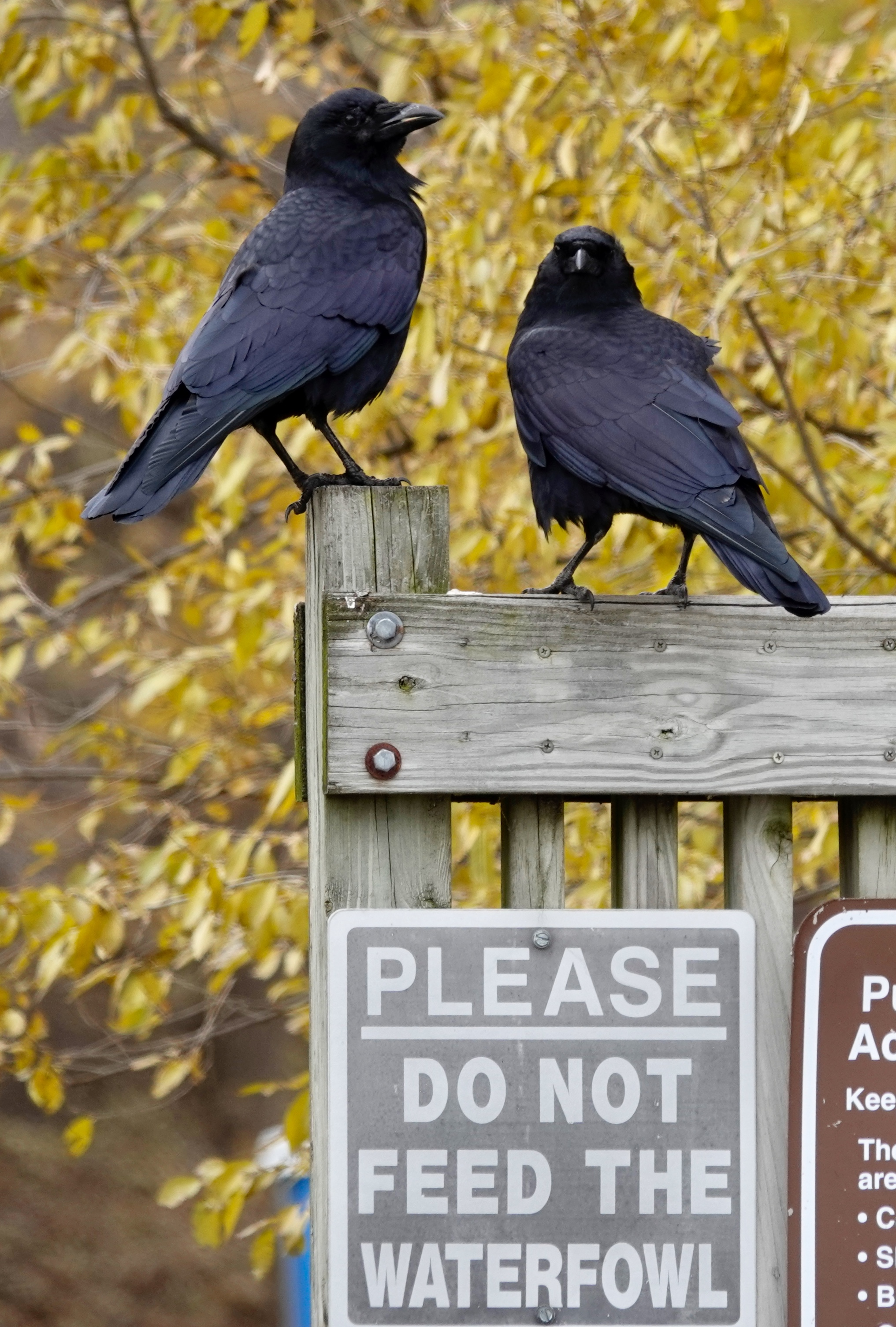 Crows are happy they aren't waterfowl.