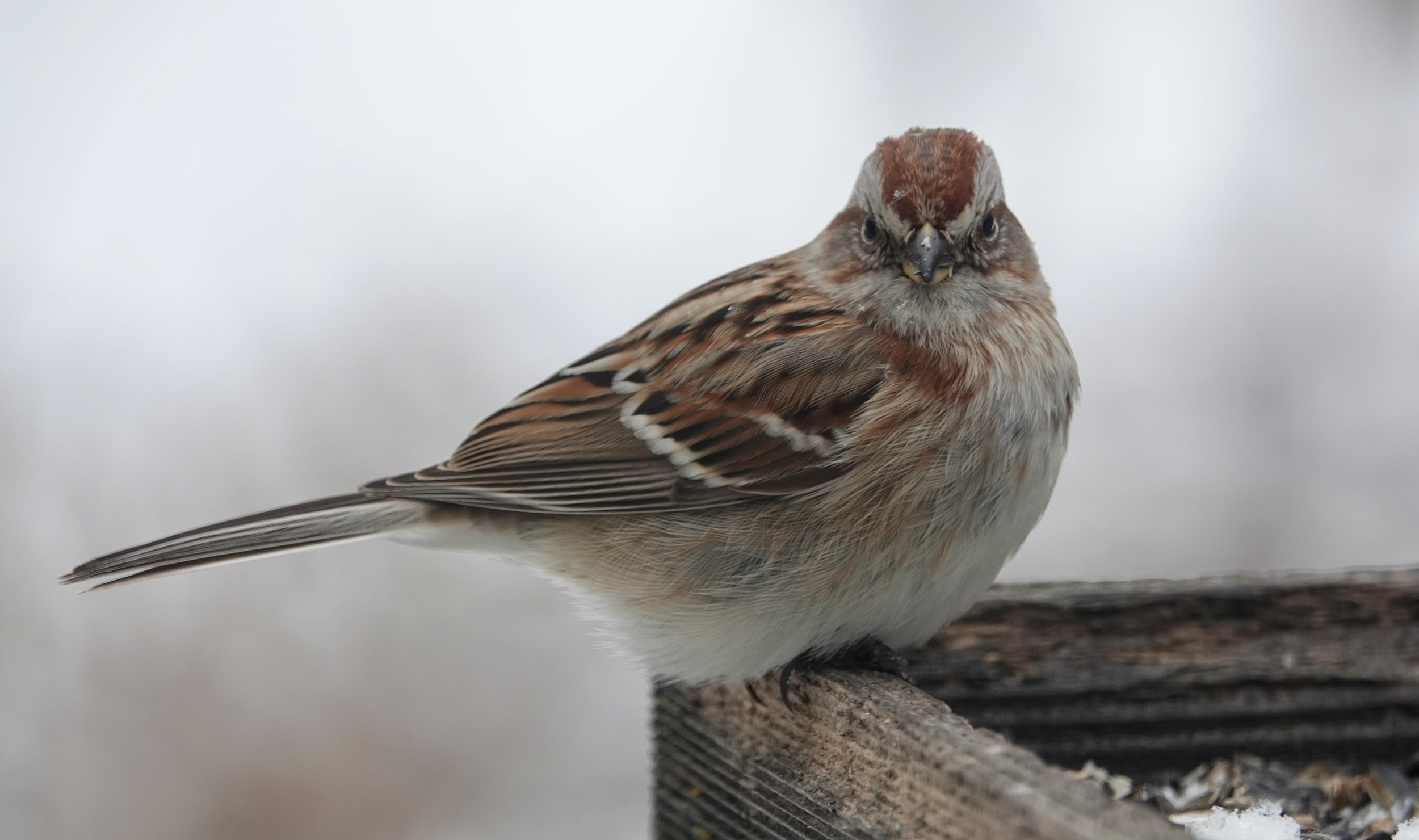 The American tree sparrow nests on or near the ground.