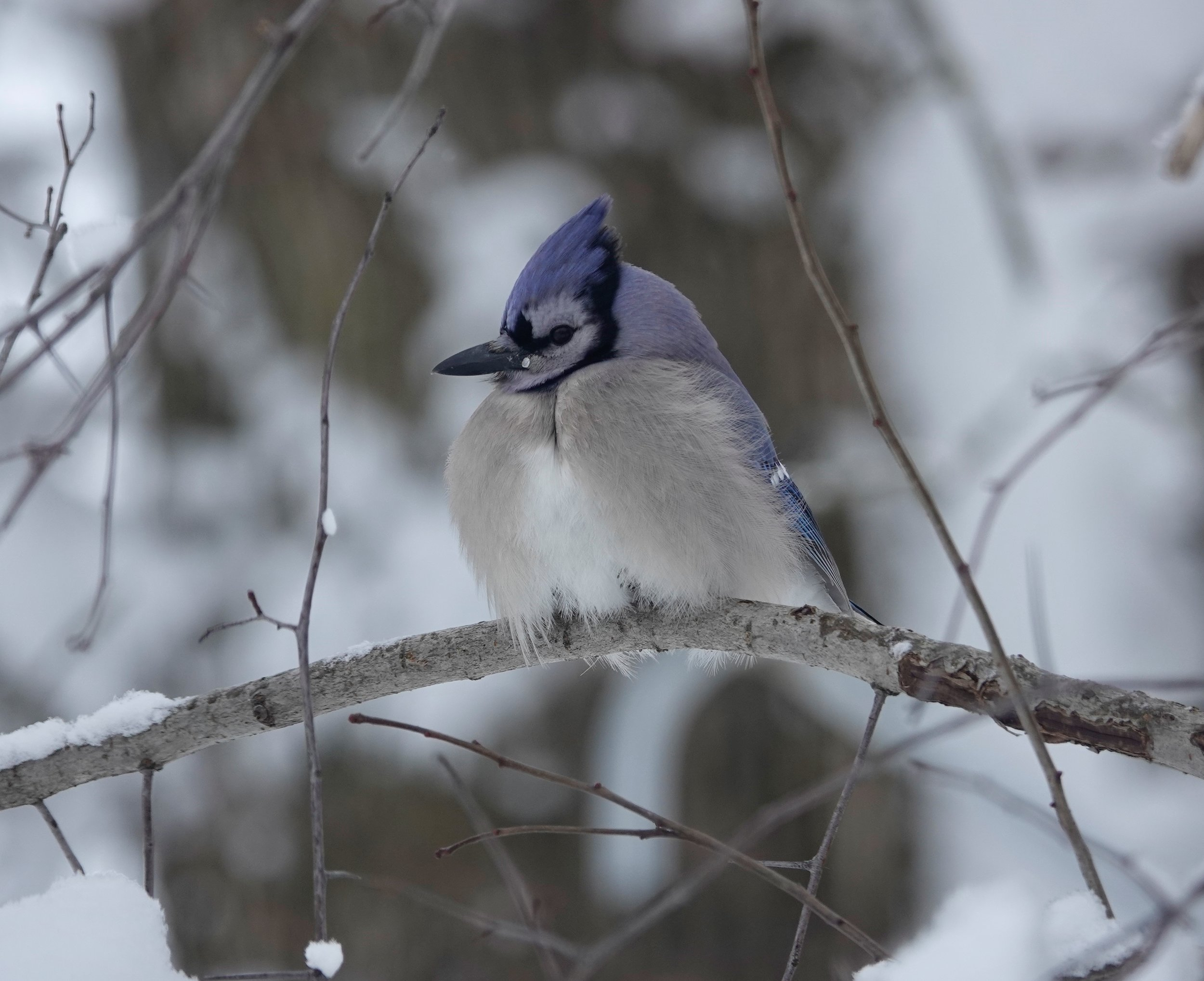 """You never saw a bluejay get stuck for a word. He is a vocabularized geyser. "" — Mark Twain"