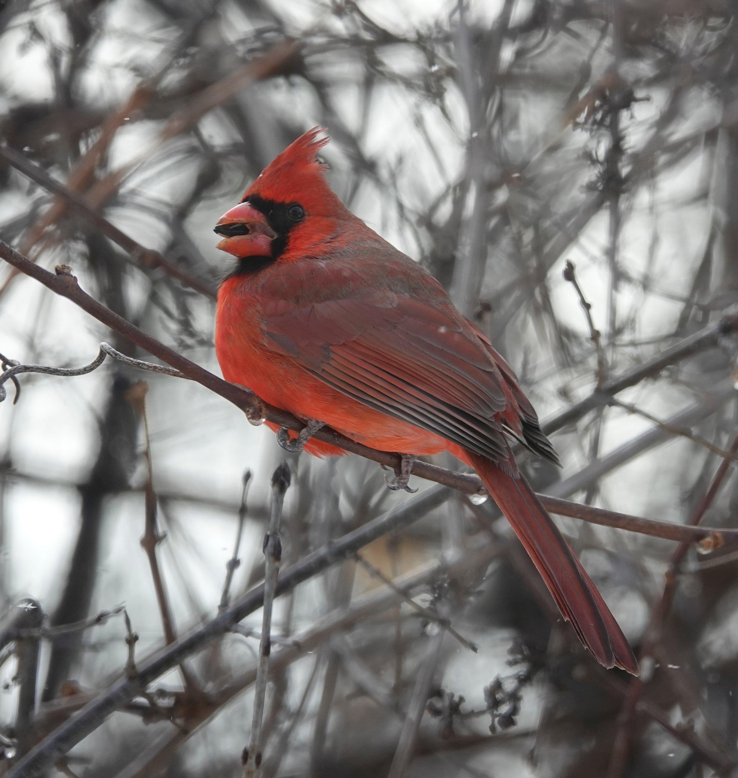 A red wow! bird.
