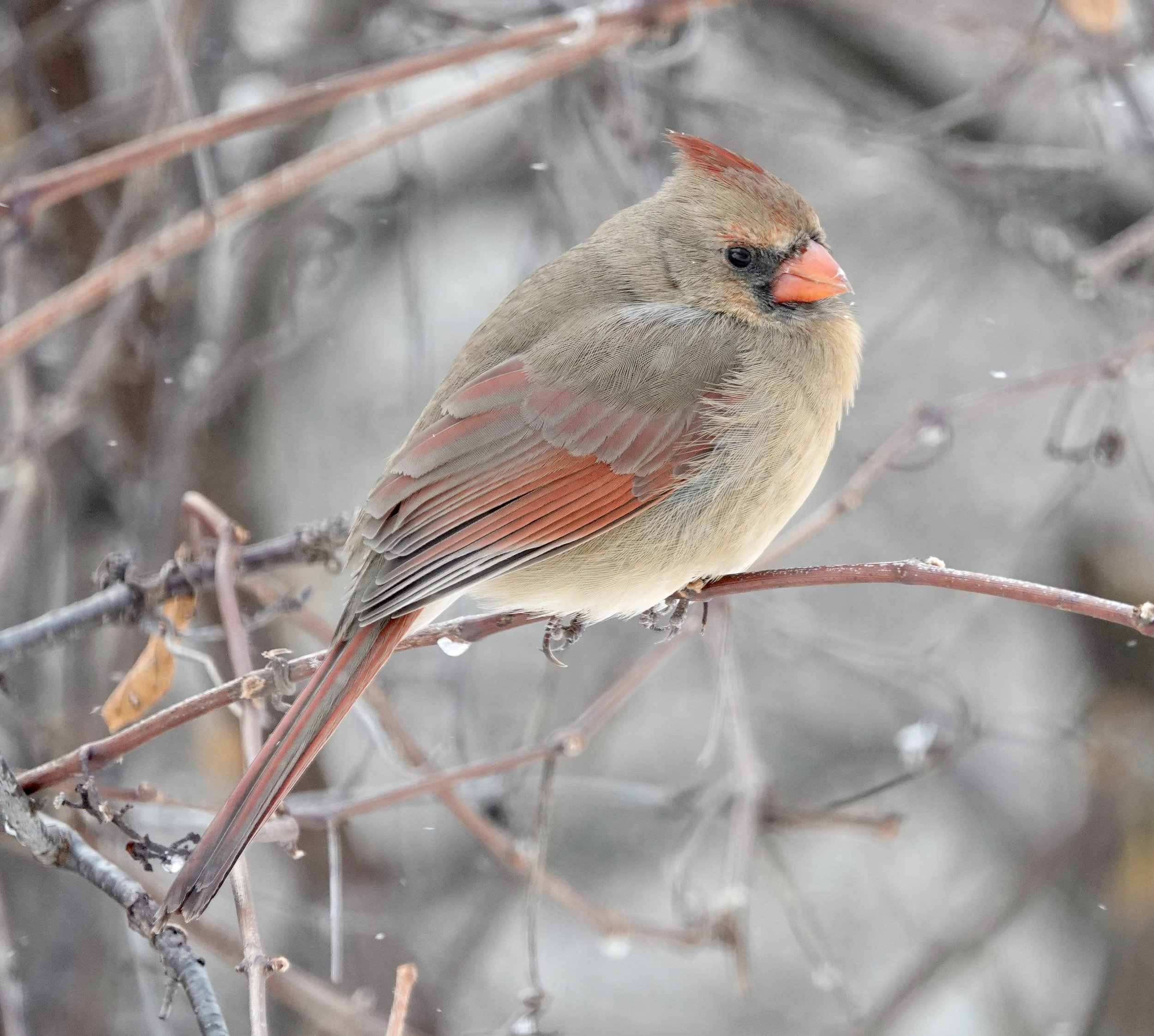 This pensive female cardinal may be California dreaming on such a Minnesota winter's day.