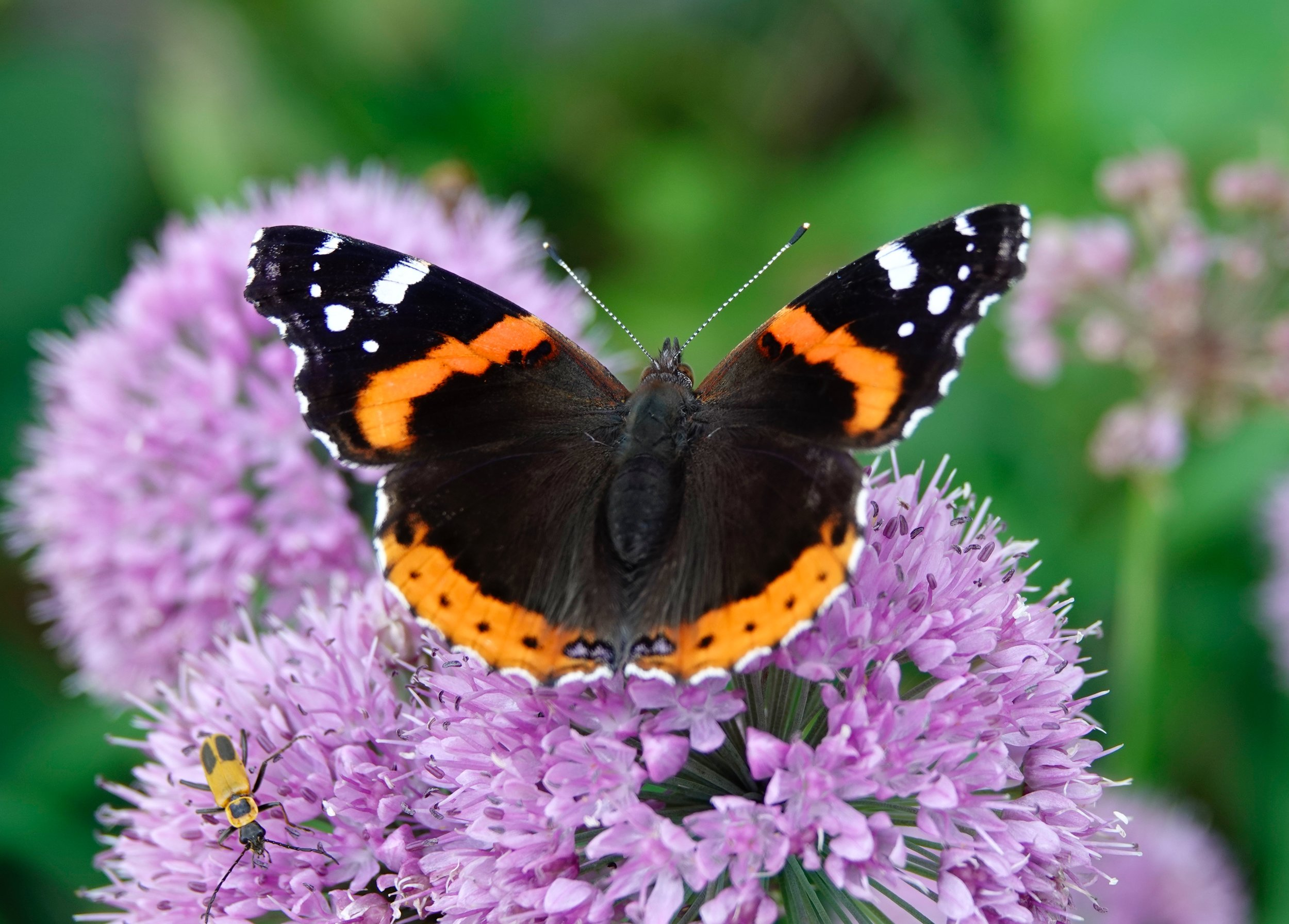 And in today's views: Butterfly dreaming on such a winter's day. Here is a red admiral from last summer.