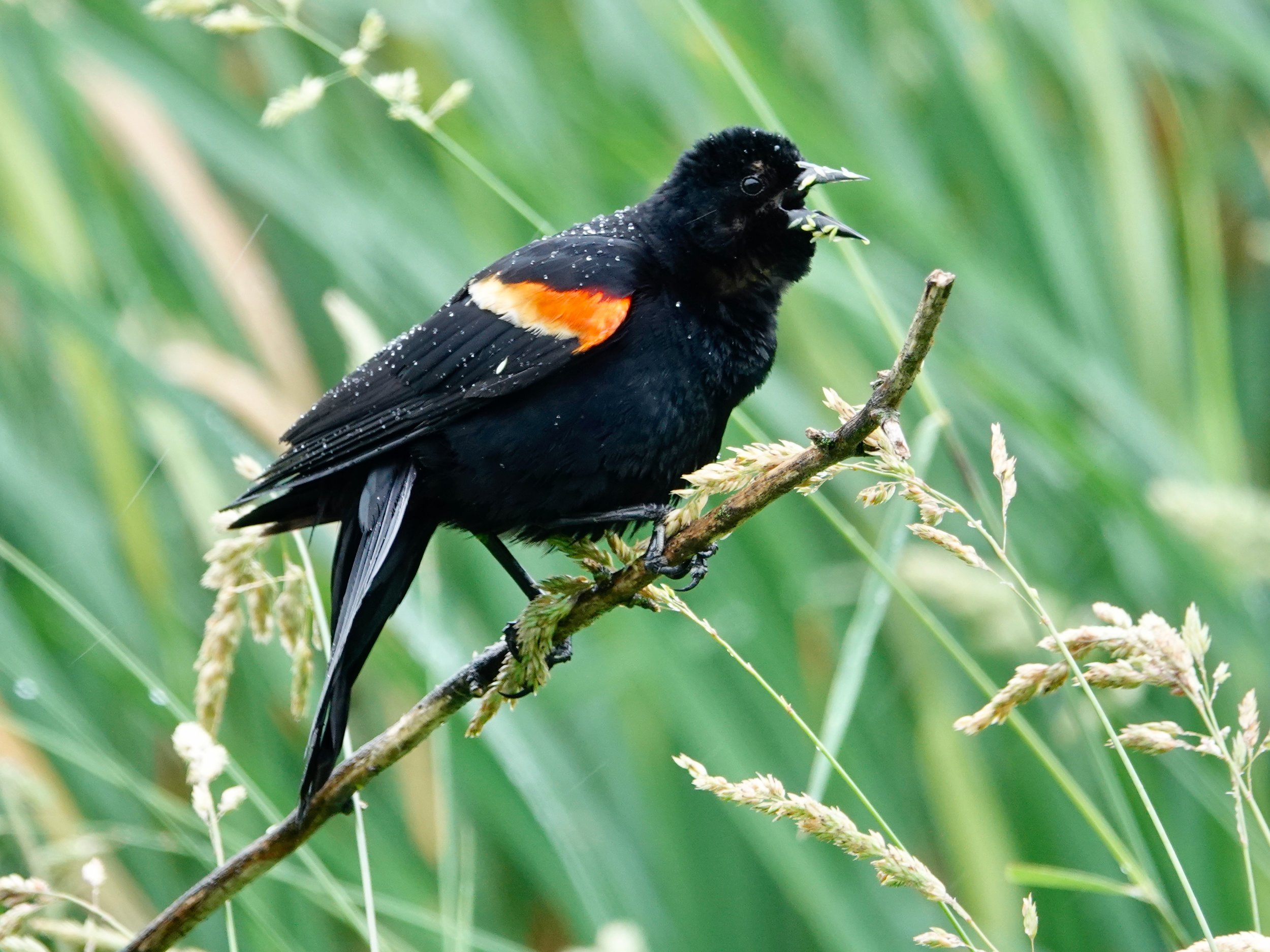 When the red-winged blackbird returns, it sings of spring.