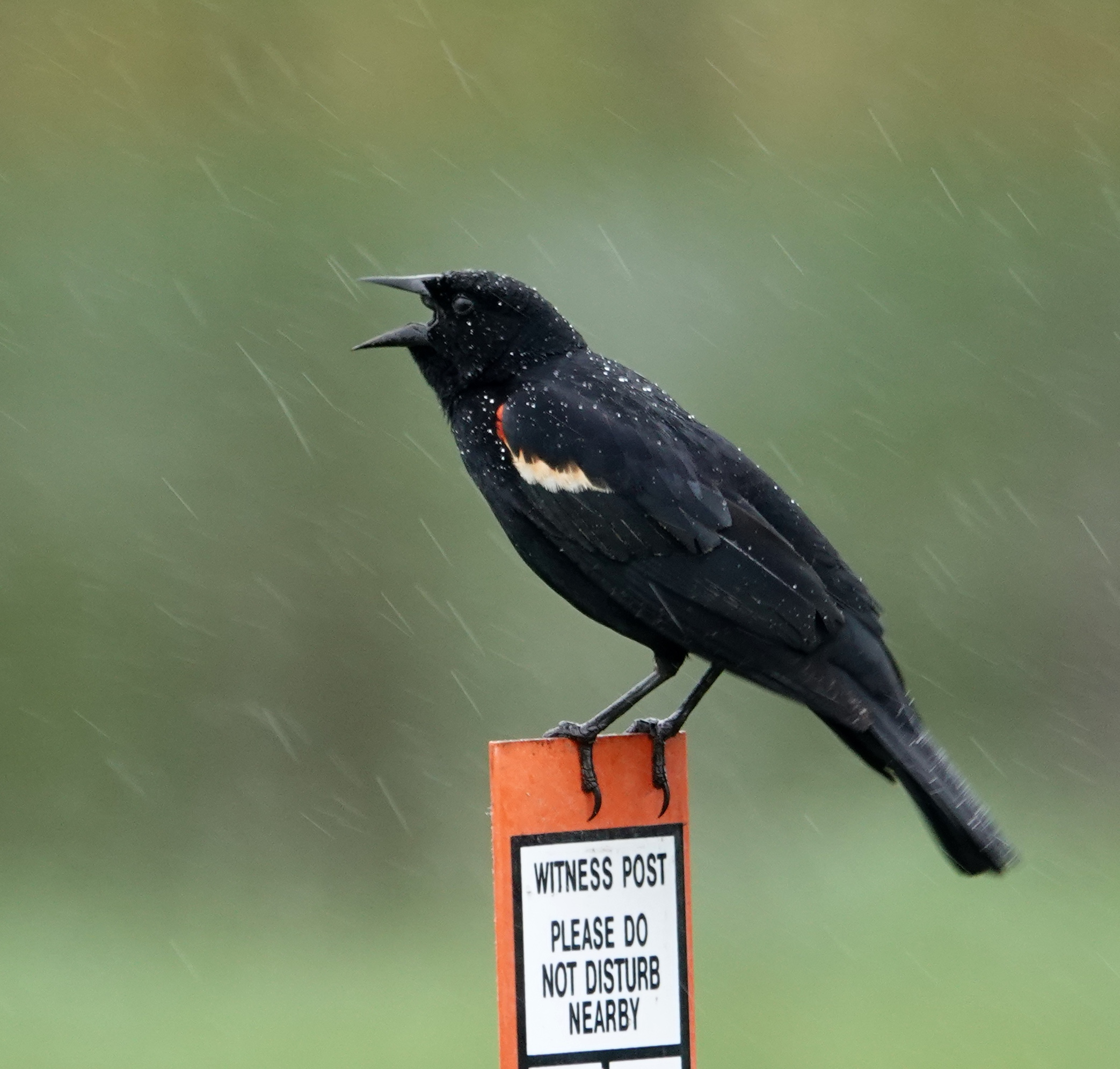 A red-winged blackbird singing in the rain.