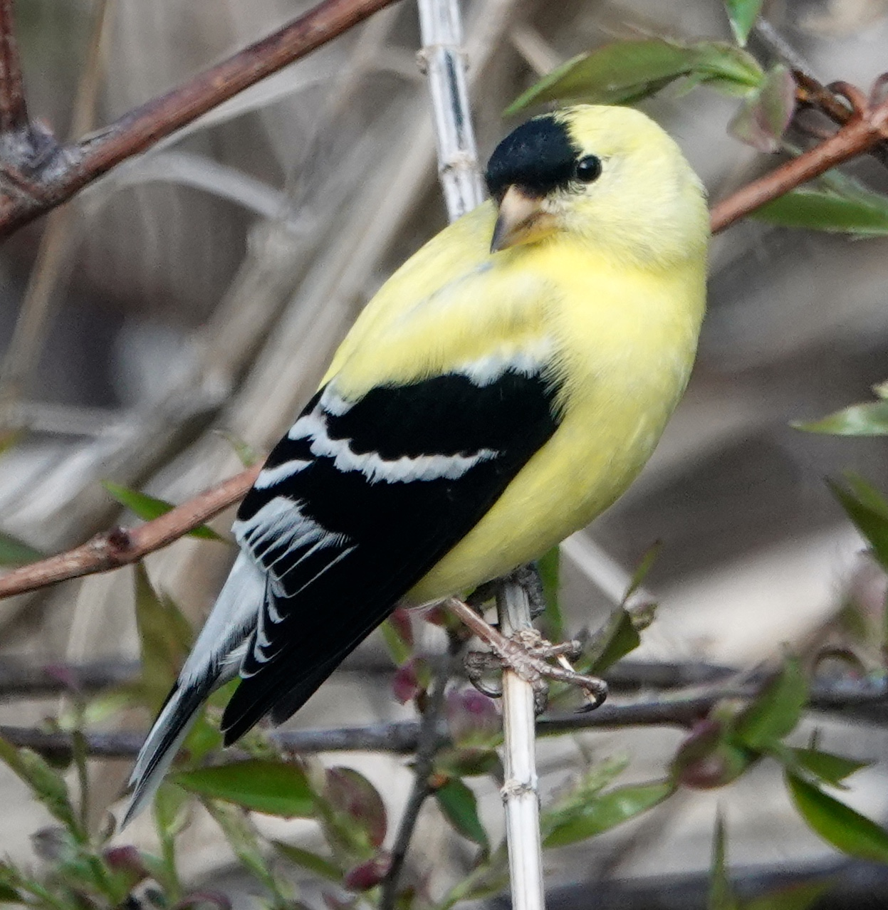 Soon, spring will bring us gold in the feathers of the American goldfinch.