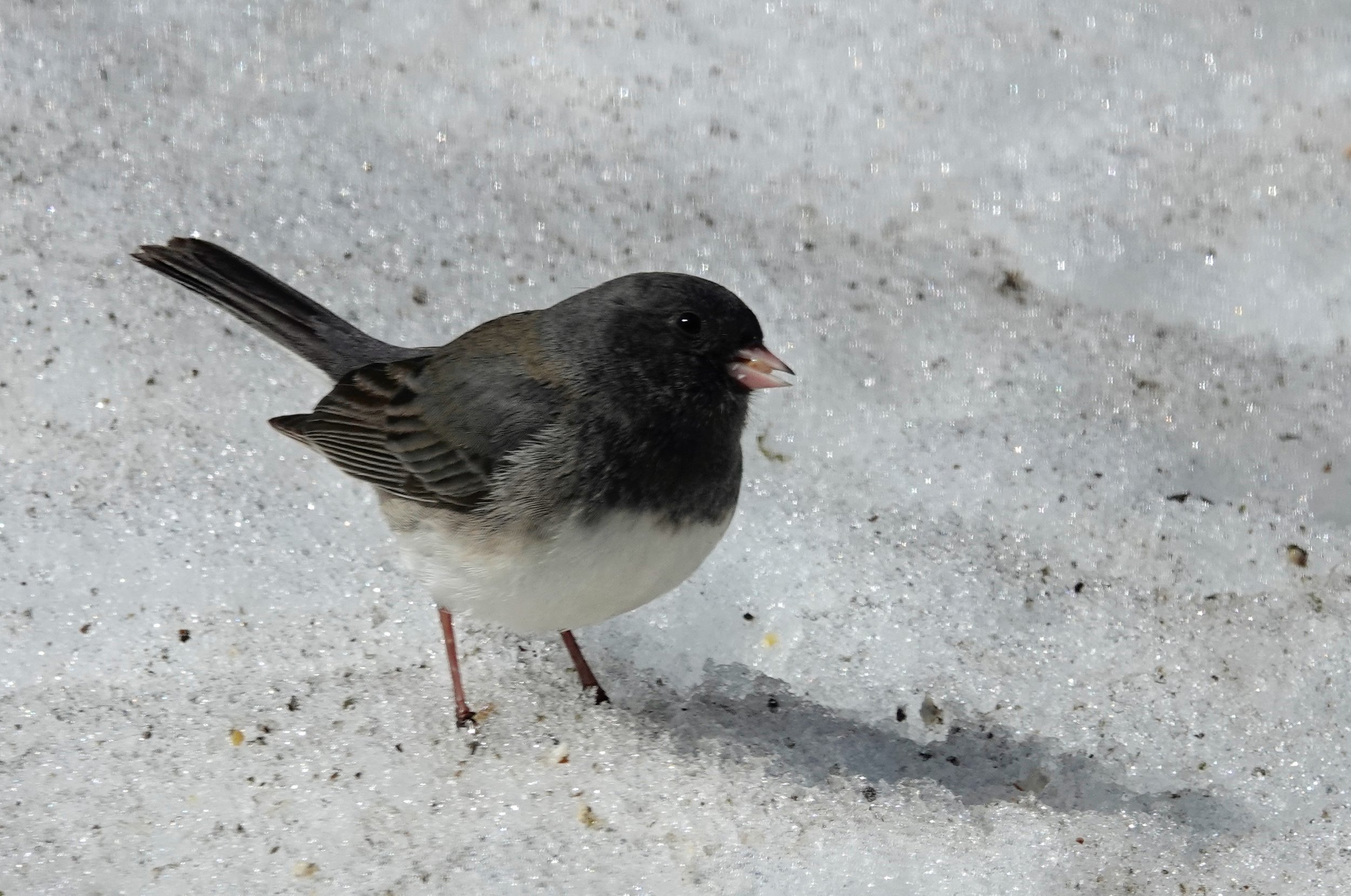 A junco's icy feet might be an encouragement for it to trill about traveling. This bird's trilling is as much of a spring sign as is the smell of skunk in the air.#spring