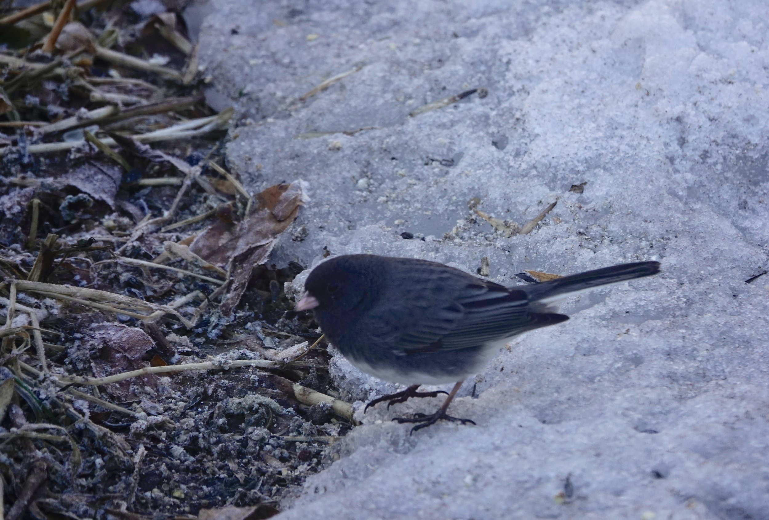 The junco of winter approaches spring.