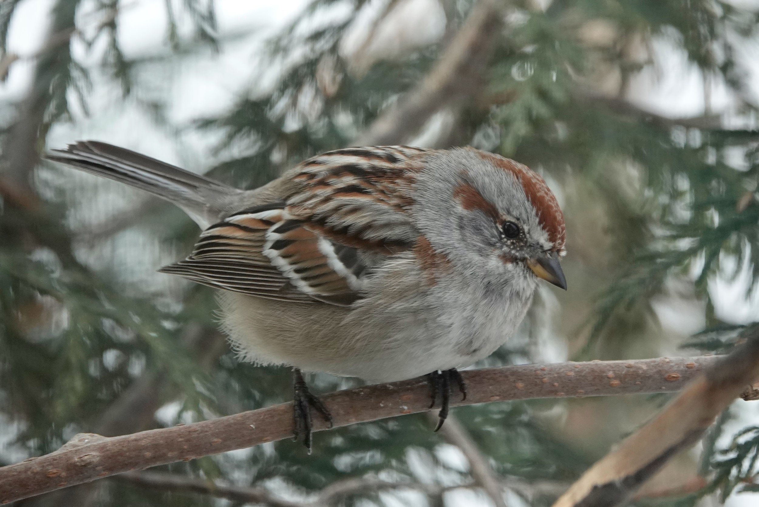 The two-toned bill of the American tree sparrow sings of their plans to fly northward. Al Batt/Albert Lea Tribune