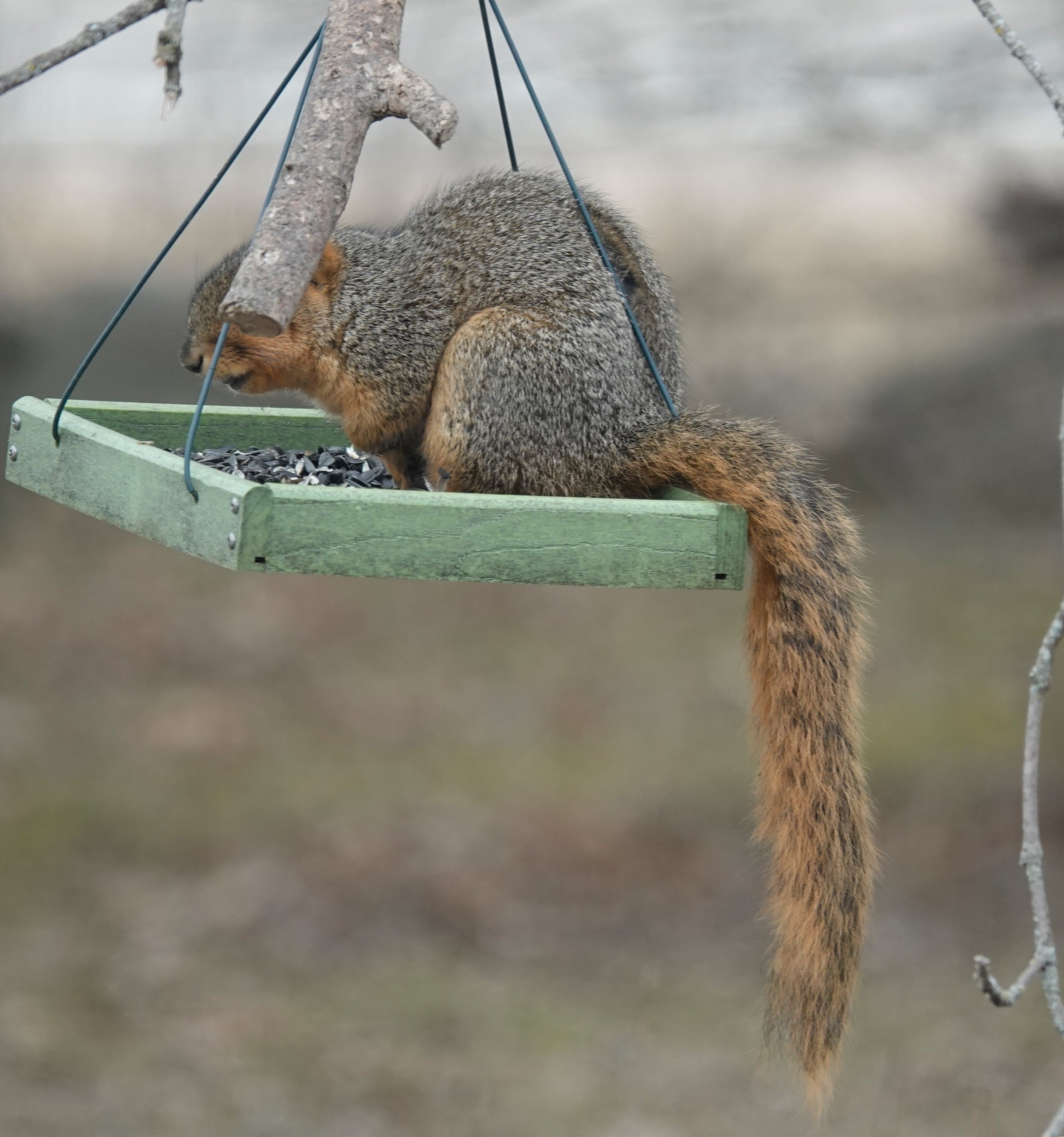 Our yard has a number of bird feeders with furry tails.