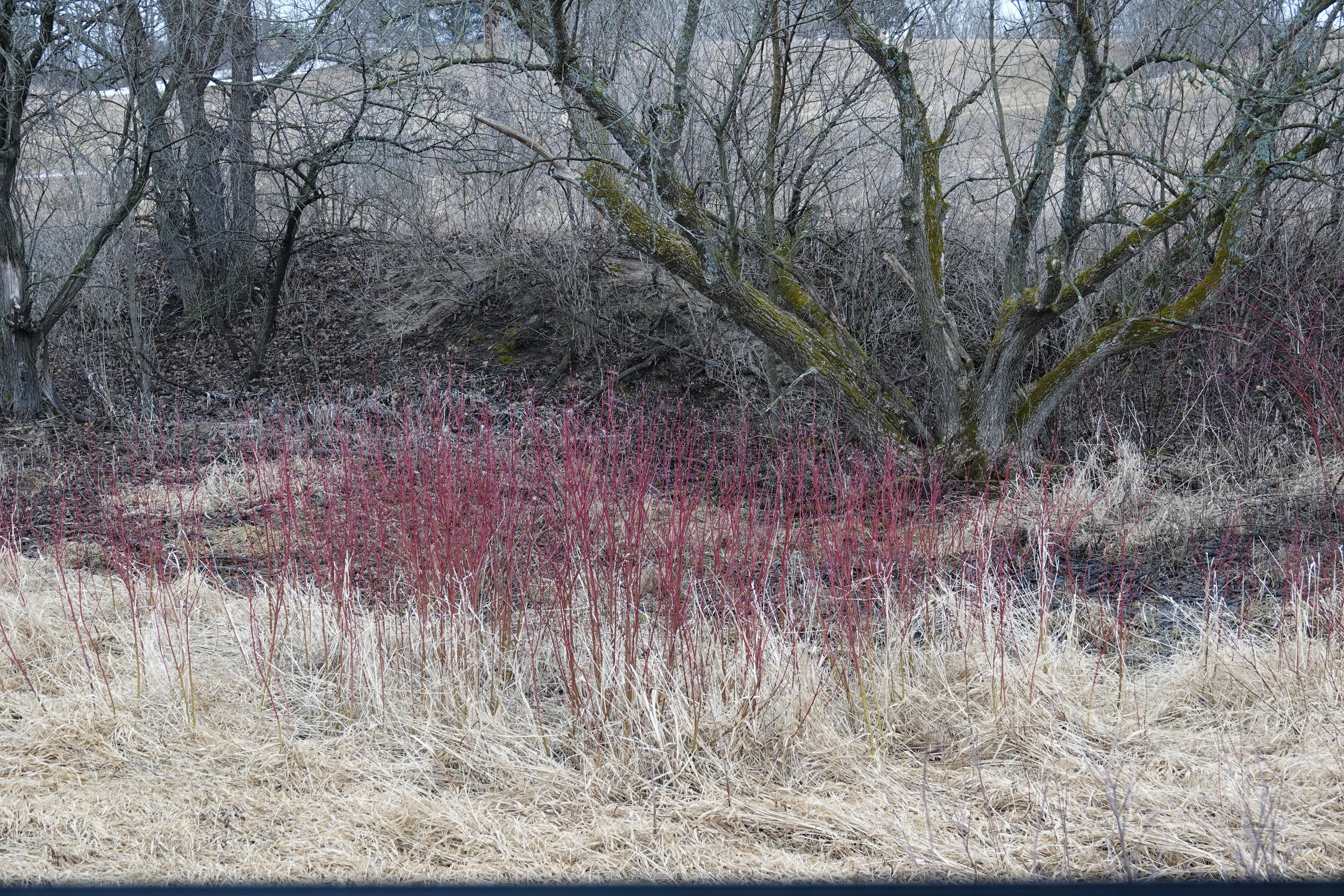 Red-osier dogwood provides the red veins of spring.