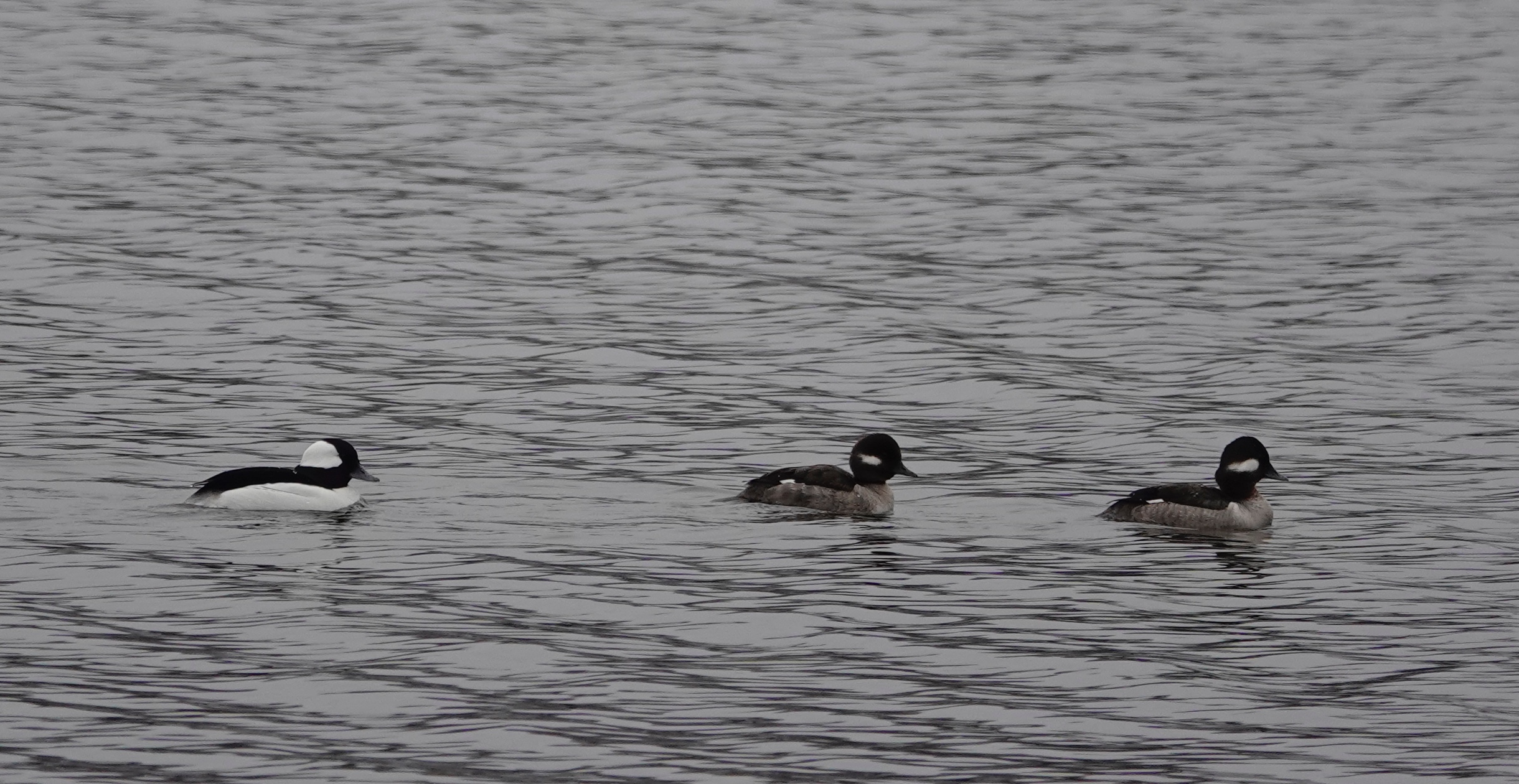 Buffleheads, compact divers and cavity-nesting ducks, bounce upon the water.
