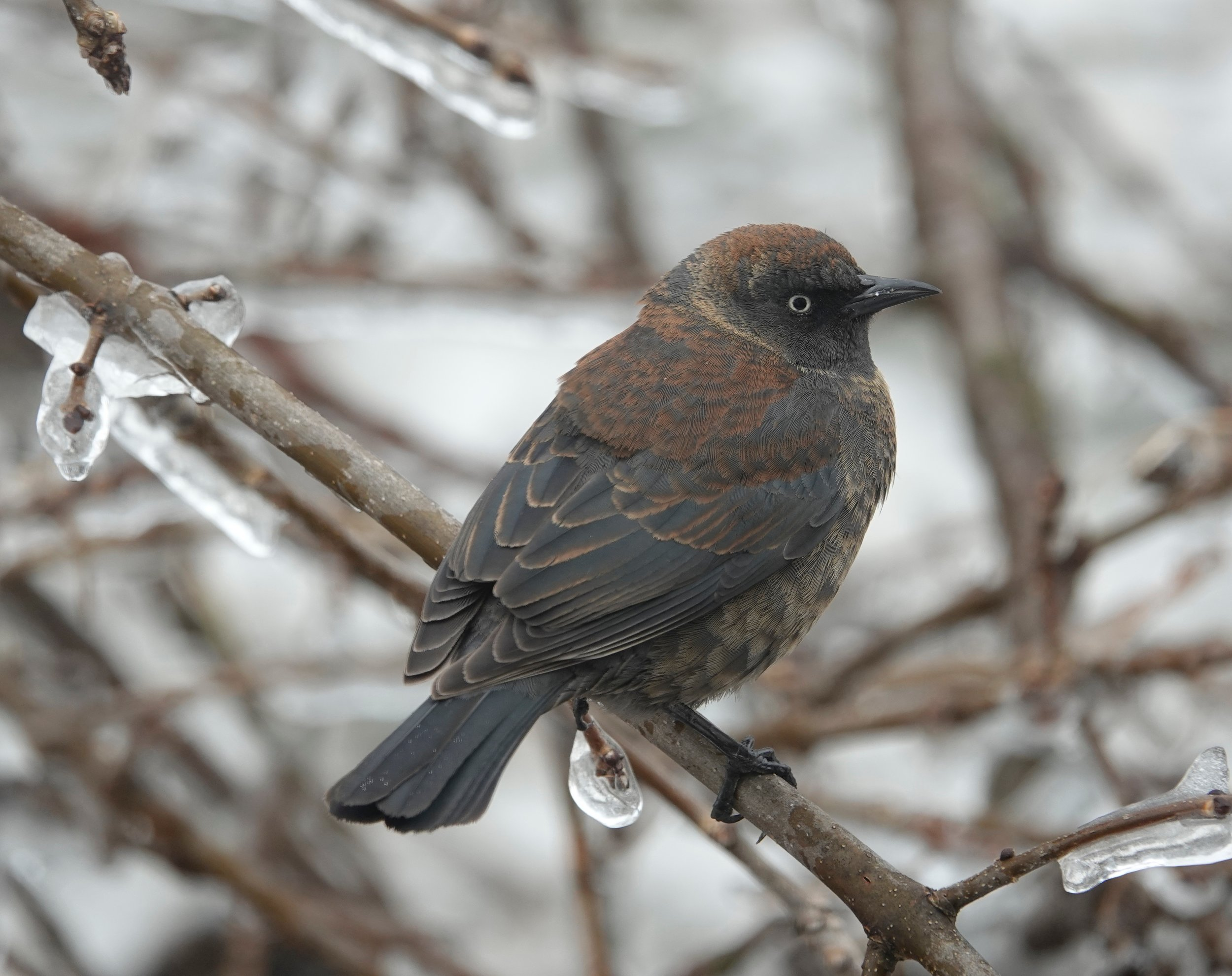 This rusty blackbird had avoided becoming an icy blackbird.