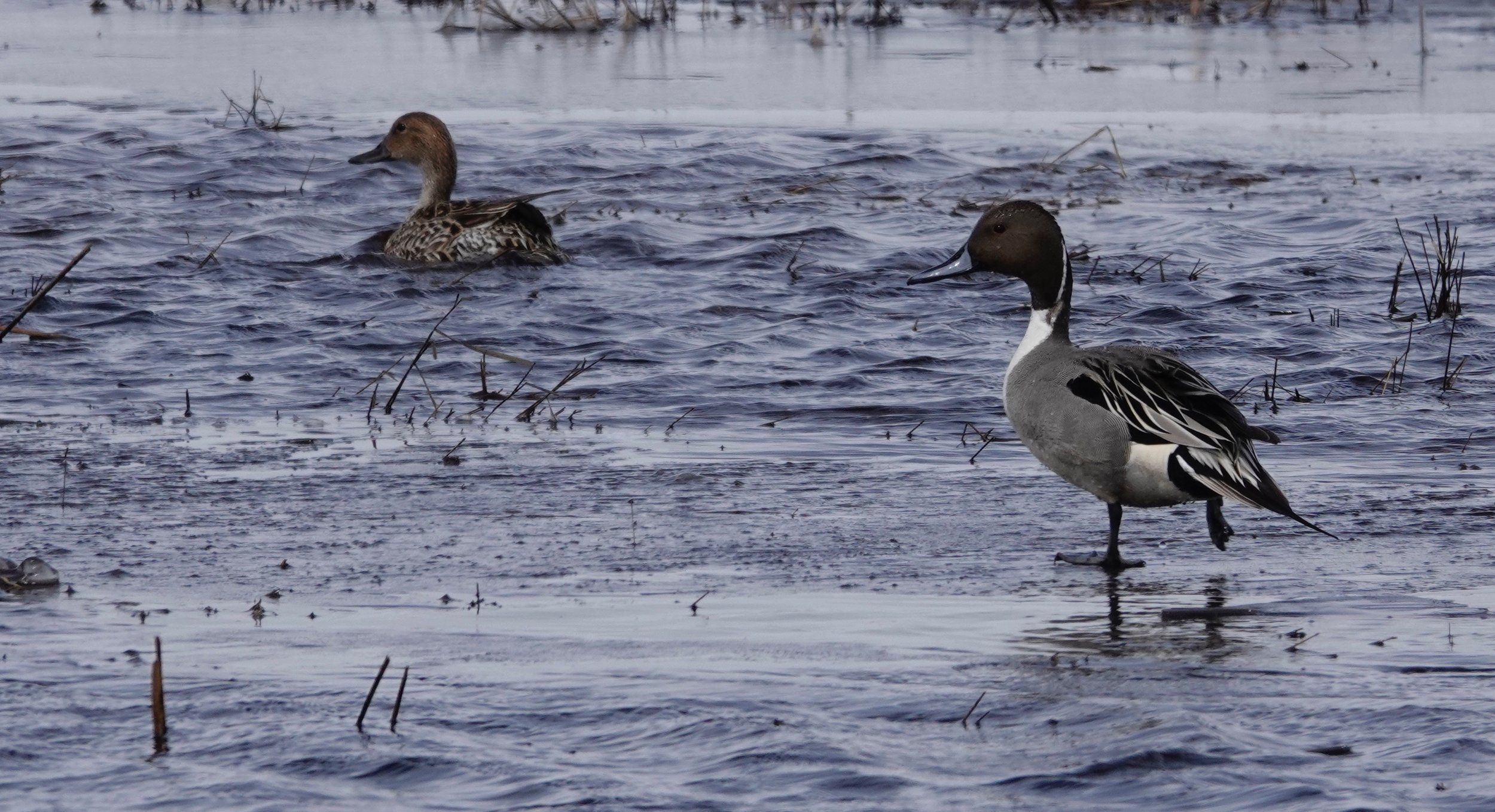 "The northern pintail is the ""greyhound of the air."""