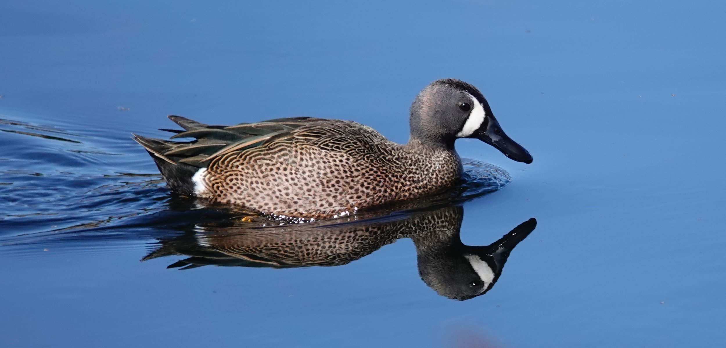 The blue-winged teal is the second most abundant duck in North America, trailing only the mallard.