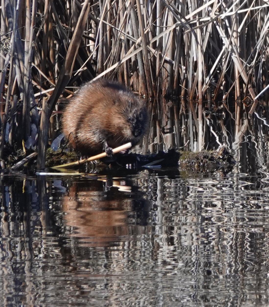A muskrat enjoying some muskrat chow.