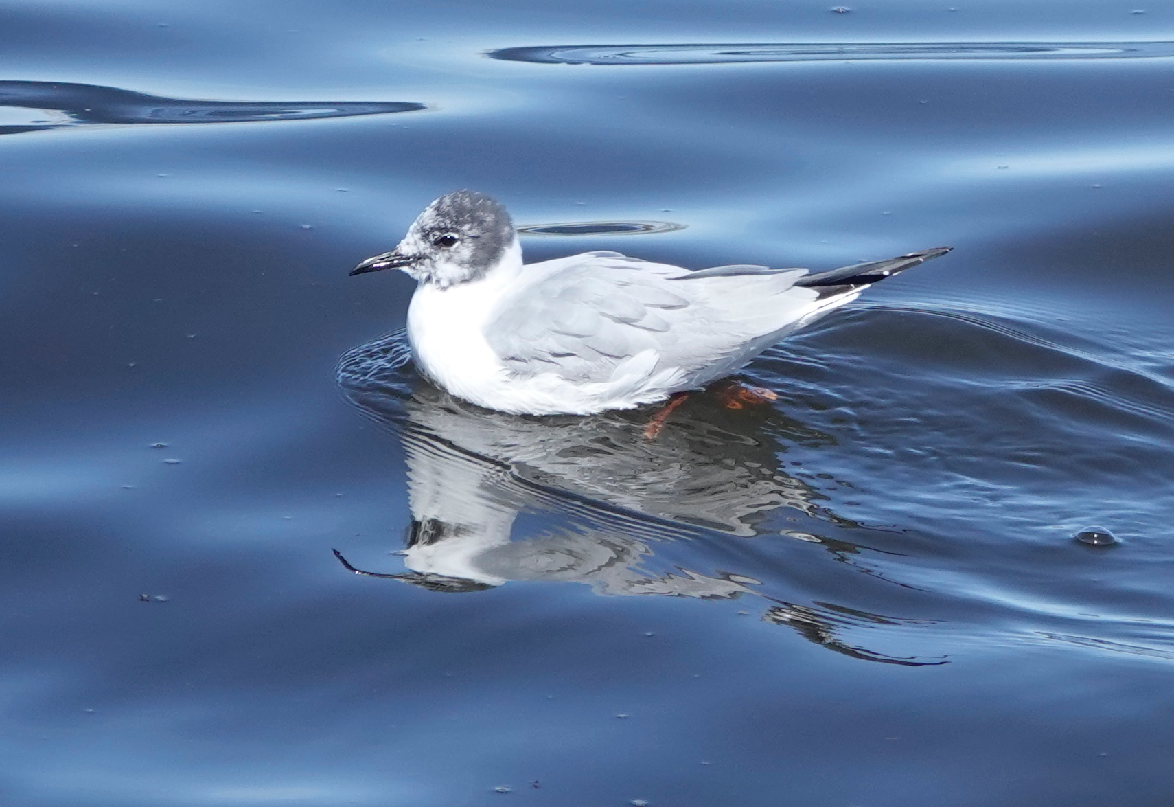 The Bonaparte's gull was named in honor of ornithologist Charles Lucien Bonaparte.