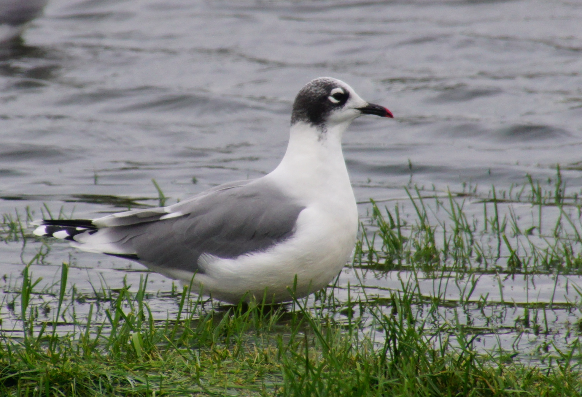 The Franklin's gull was named after Sir John Franklin, an Arctic explorer.