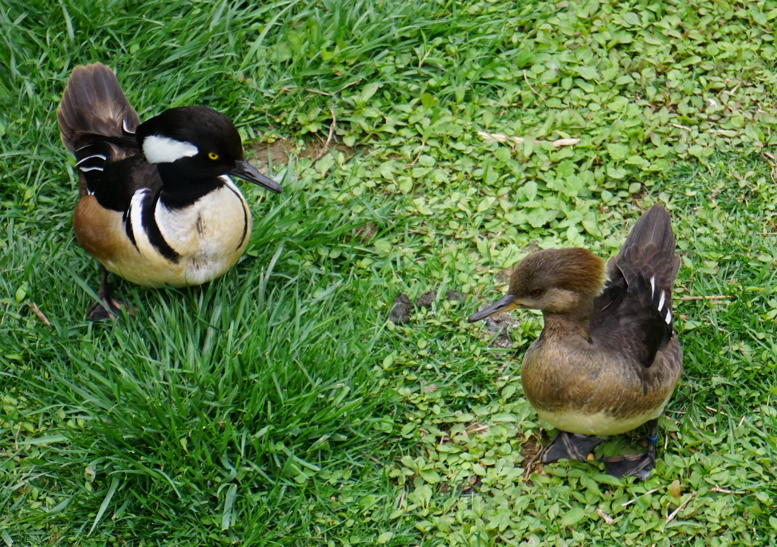 Hooded mergansers are cavity nesters and enjoy a crayfish (crawdad) dinner.