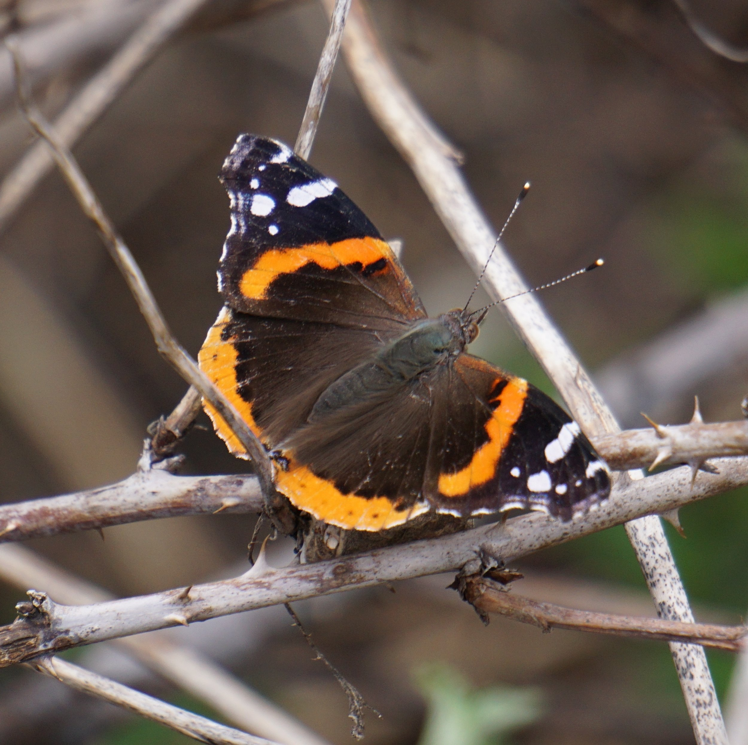 A red admiral comes out of hibernation.