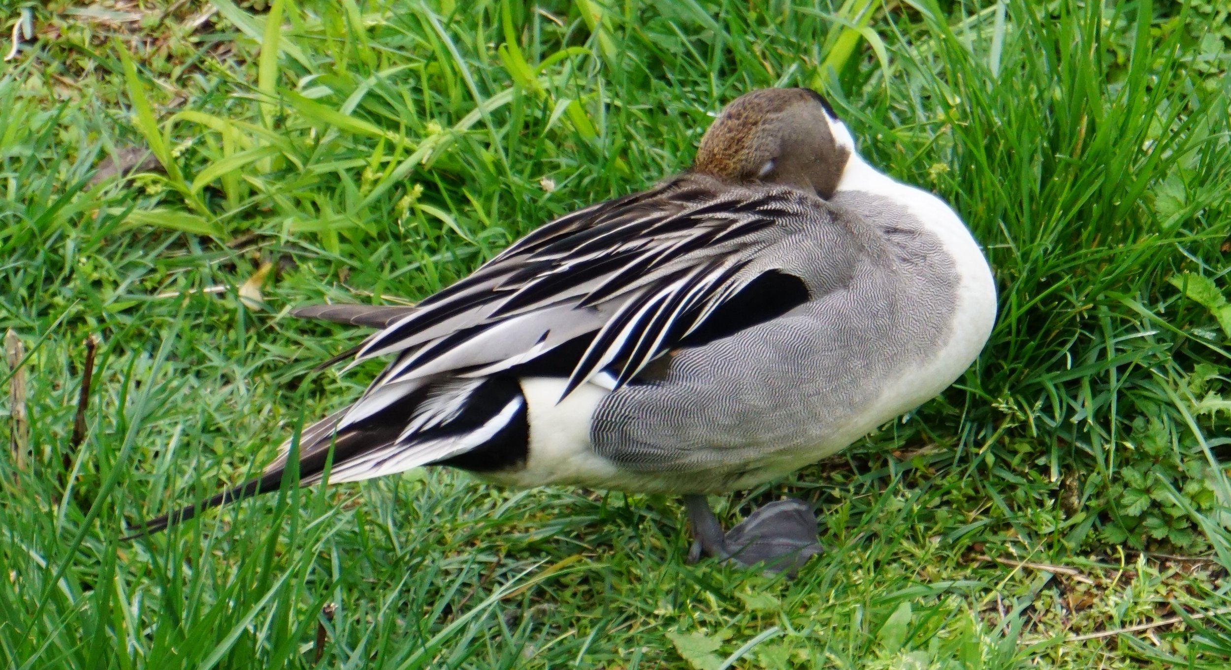 A pintail takes a duck nap.