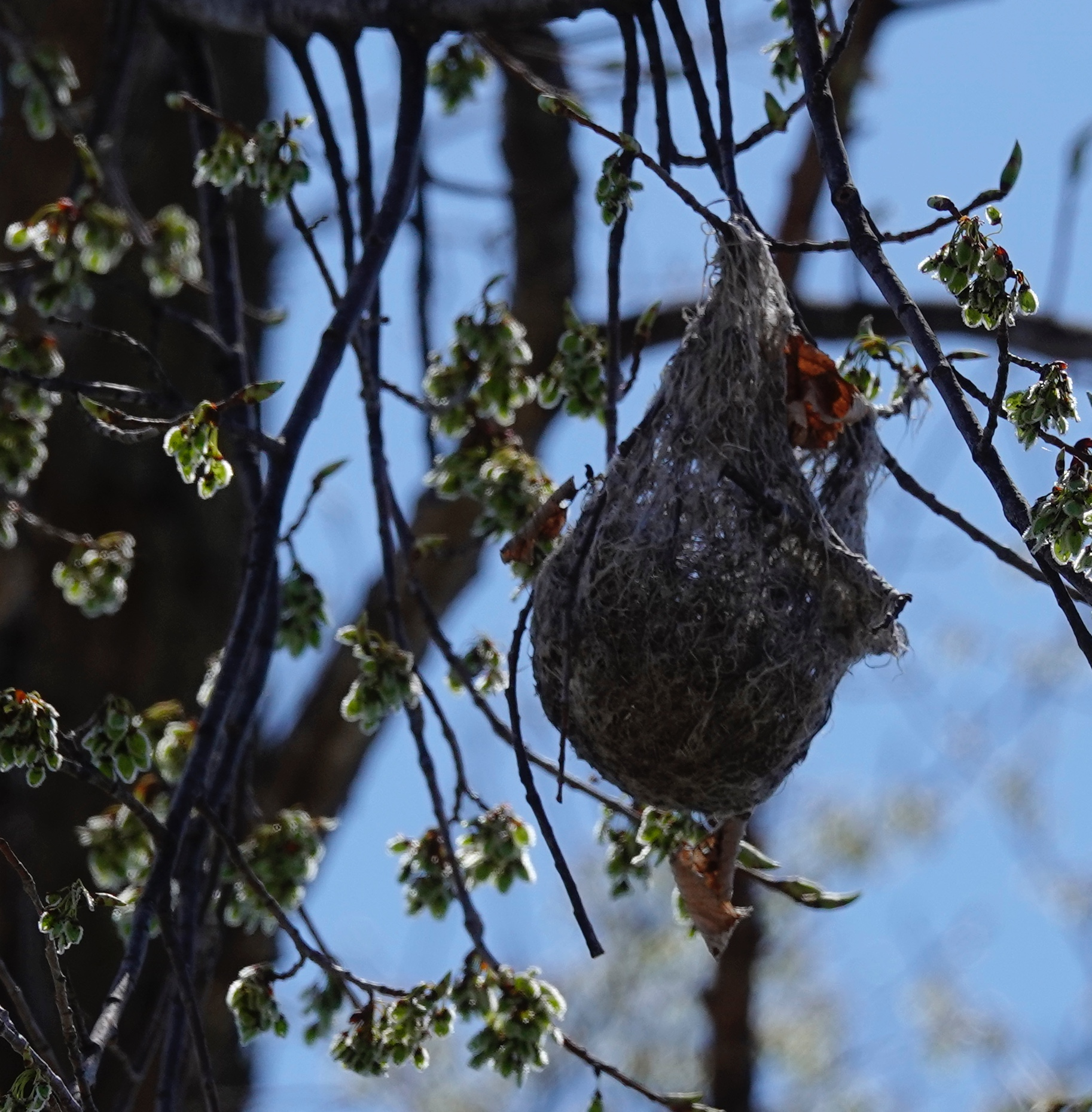 Last year's Baltimore oriole nest hangs high in a tree.