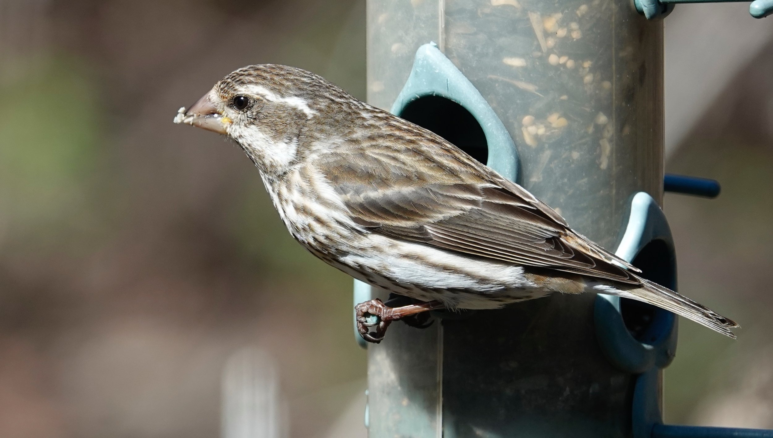 A purple finch female has a bold, white eyebrow stripe that is lacking on a female house finch.