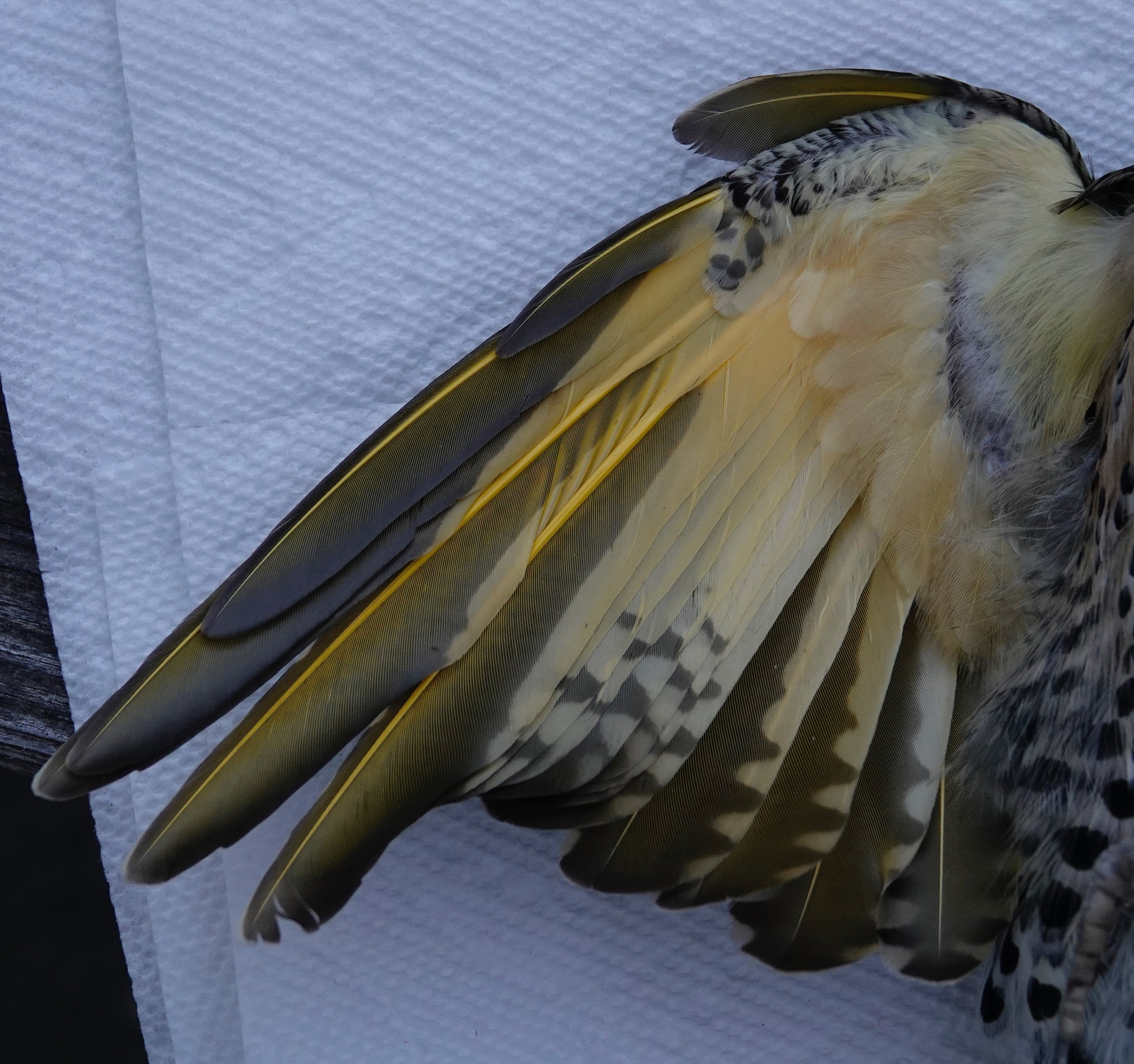 The yellow shafts on the underwing of a northern flicker.